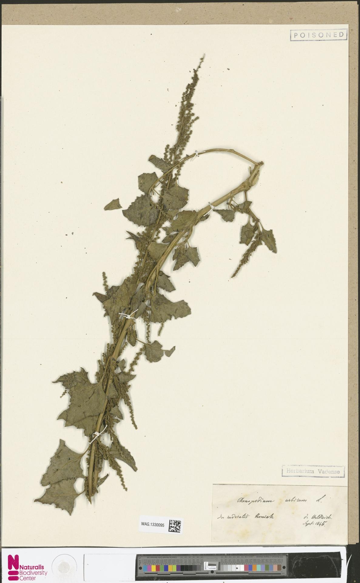 WAG.1330095 | Chenopodium urbicum L.