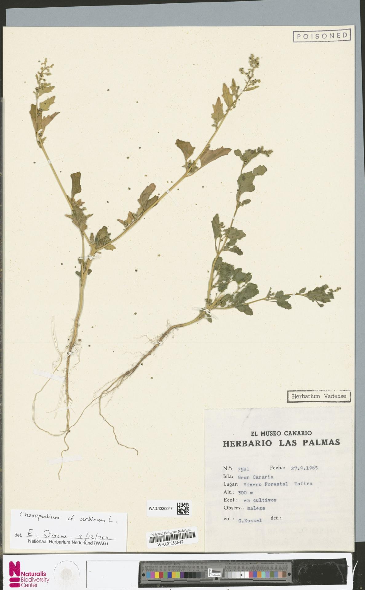 WAG.1330097 | Chenopodium urbicum L.