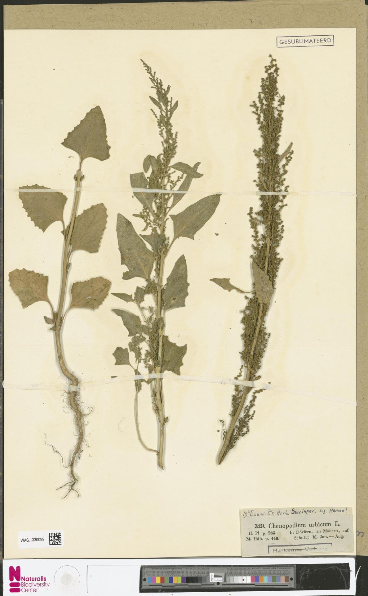 WAG.1330099 | Chenopodium urbicum L.