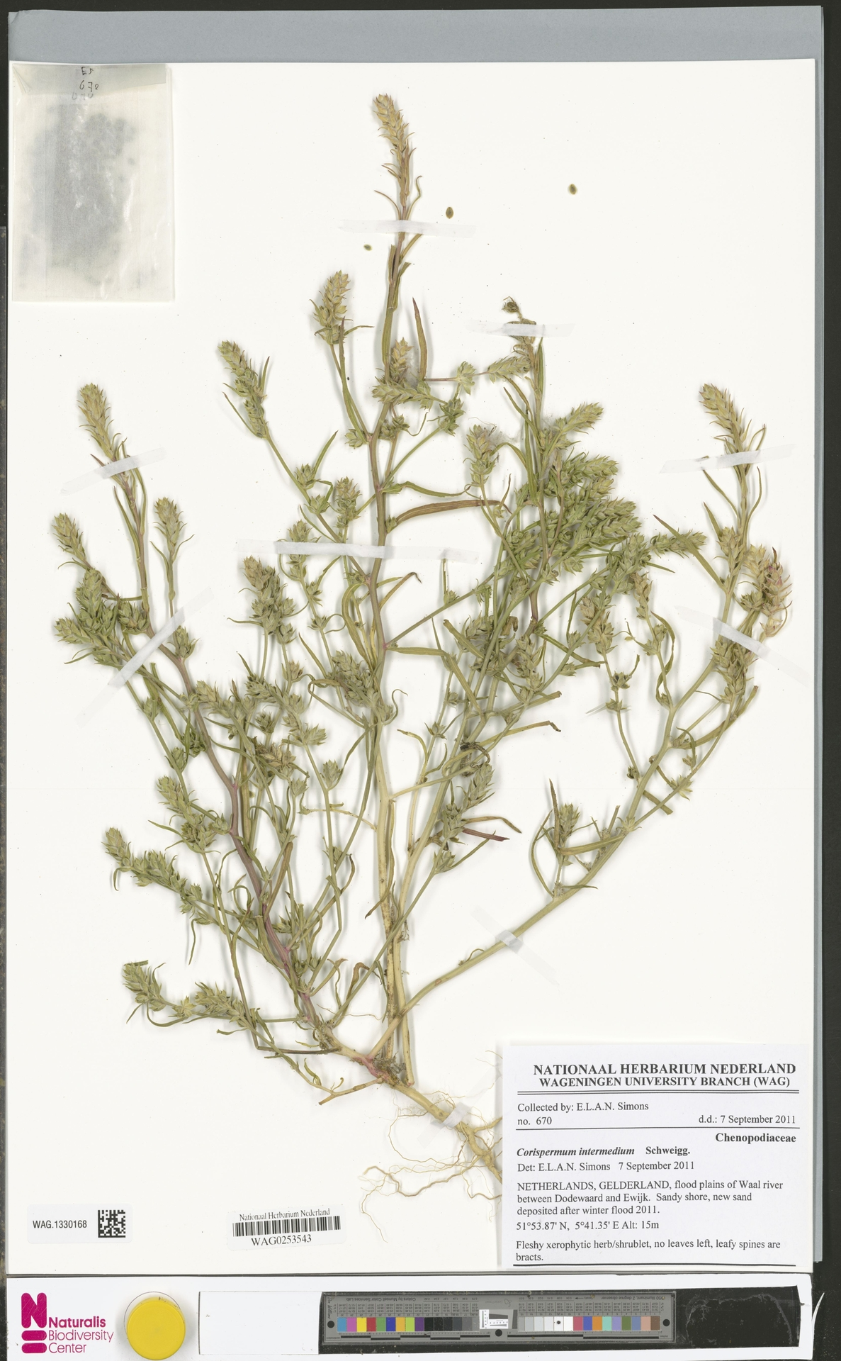 WAG.1330168 | Corispermum intermedium Schweigg.