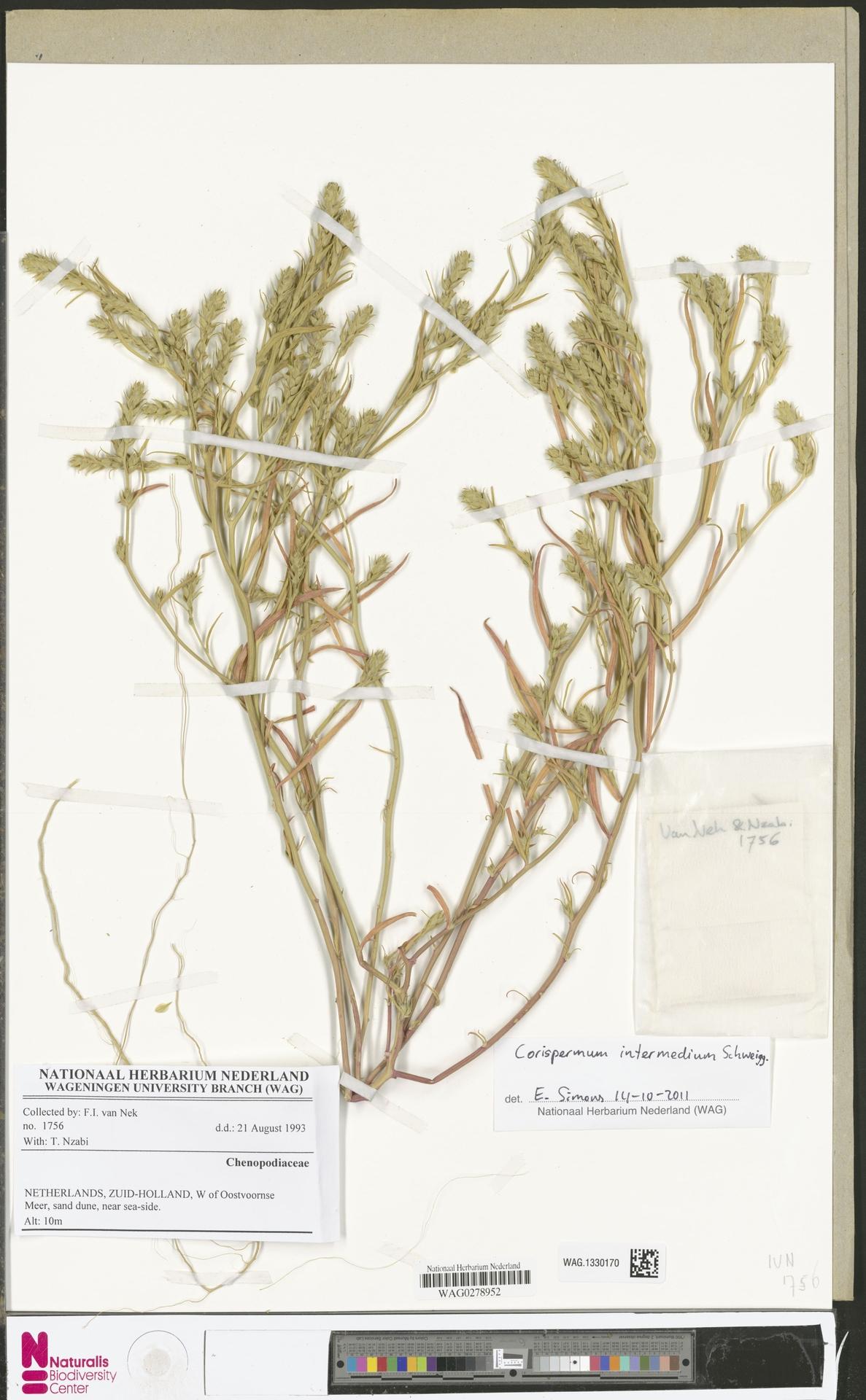 WAG.1330170 | Corispermum intermedium Schweigg.