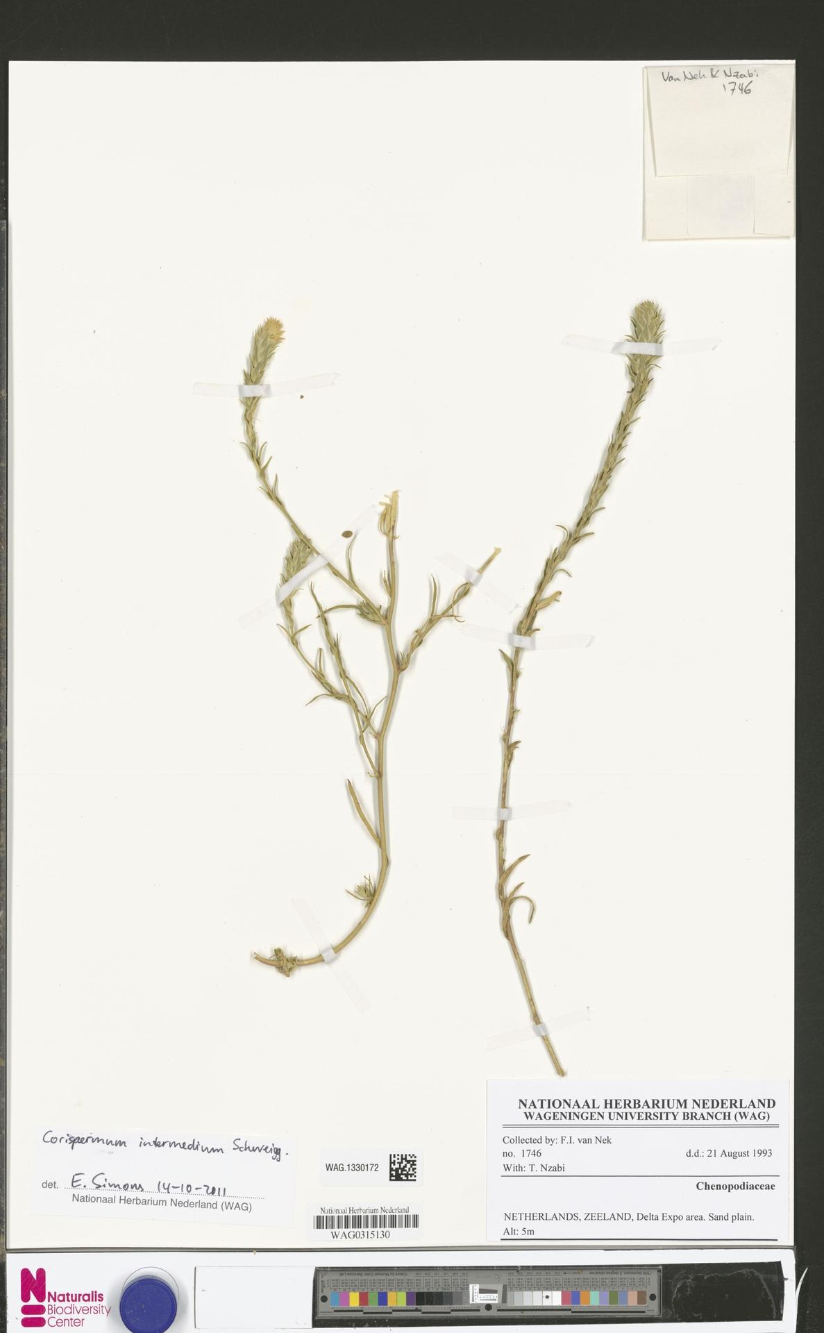 WAG.1330172 | Corispermum intermedium Schweigg.