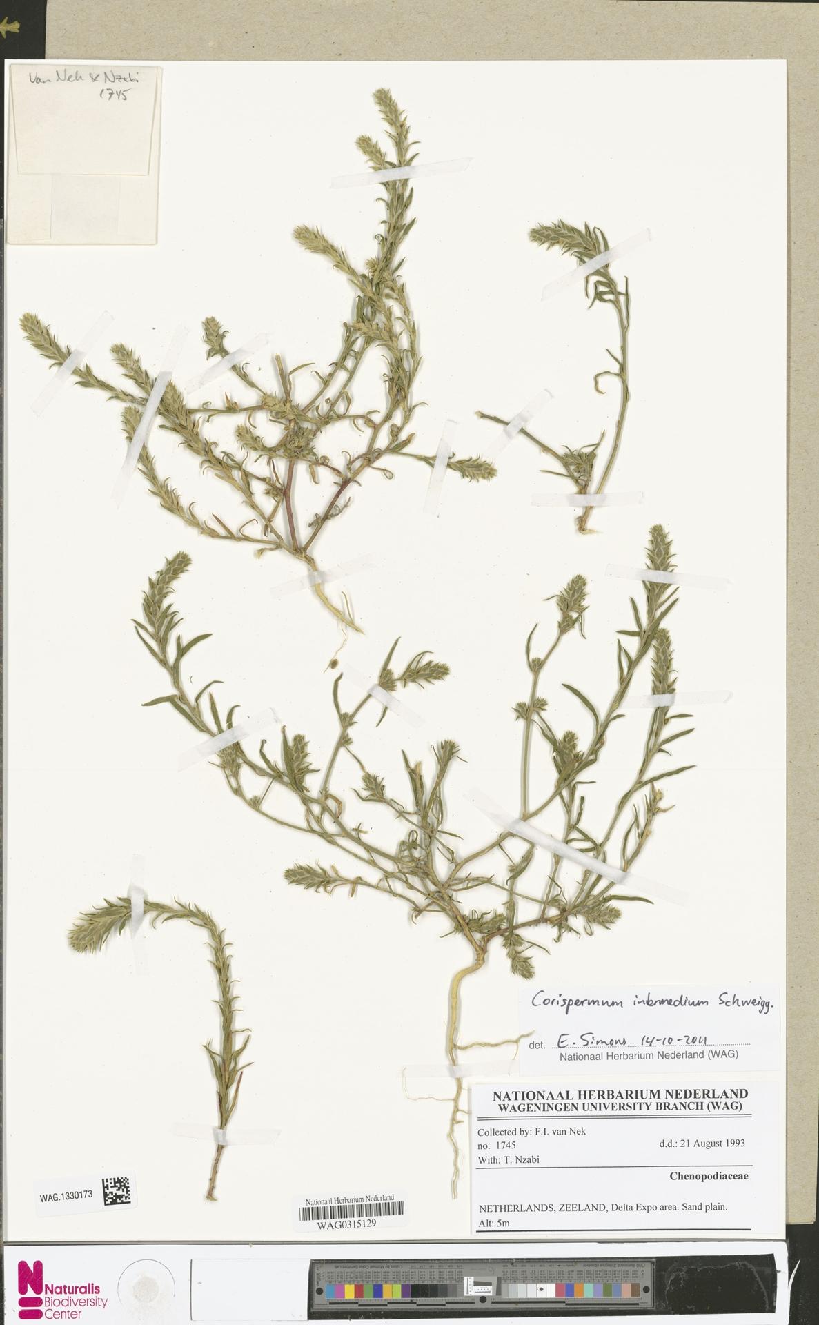 WAG.1330173 | Corispermum intermedium Schweigg.