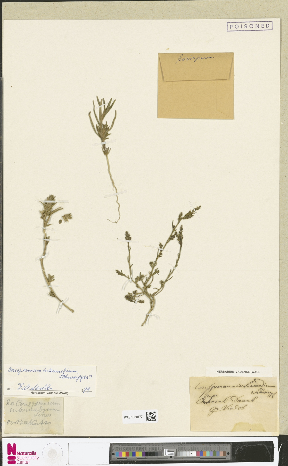 WAG.1330177 | Corispermum intermedium Schweigg.