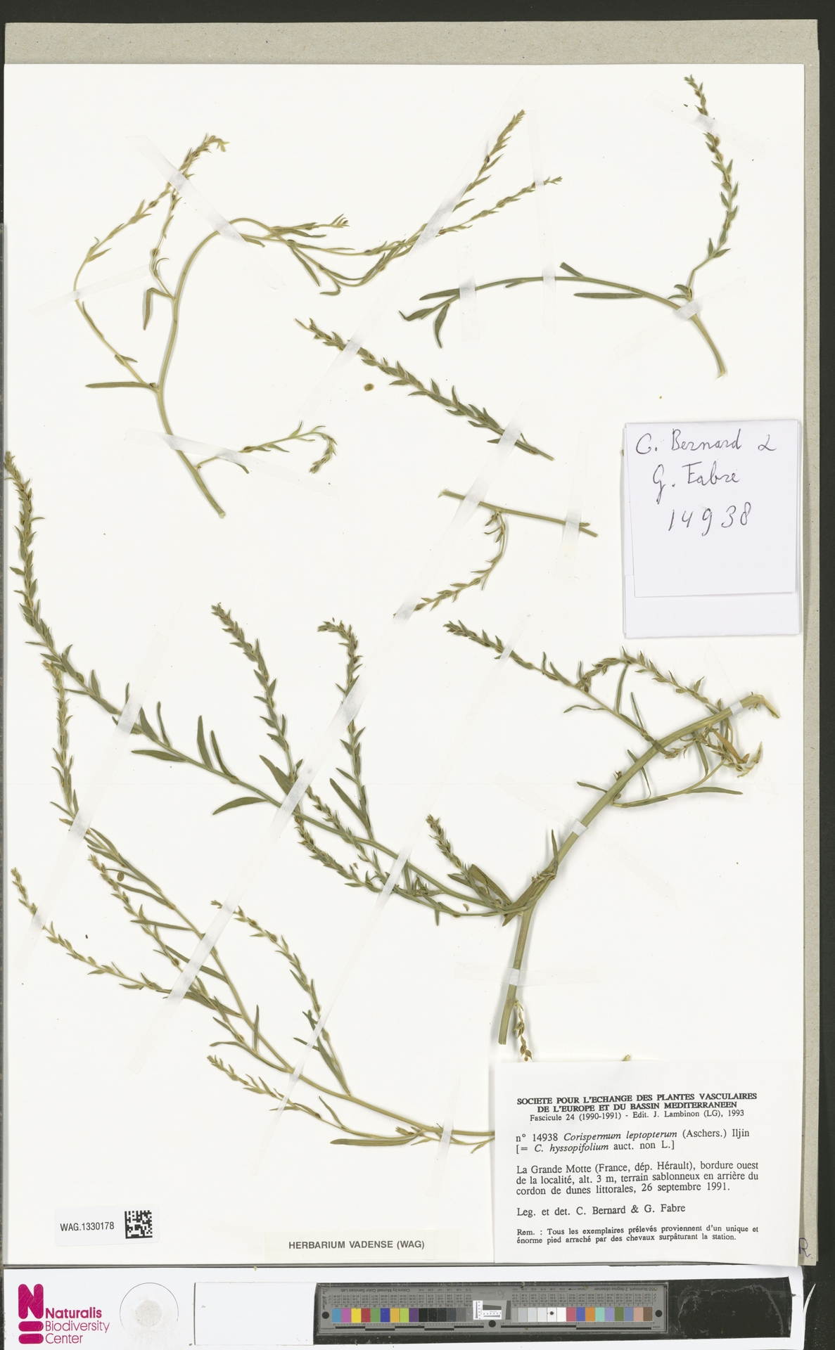 WAG.1330178 | Corispermum intermedium Schweigg.