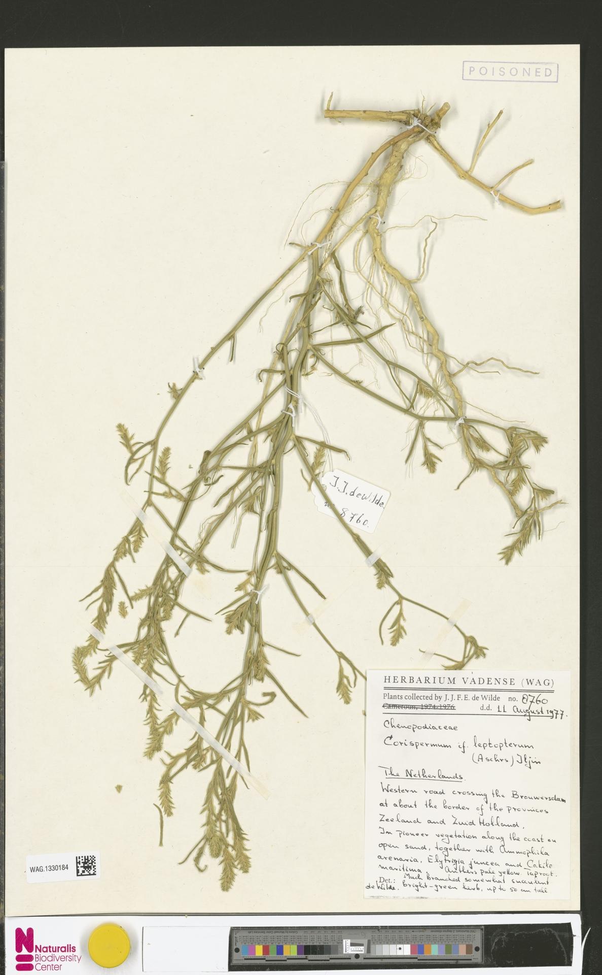 WAG.1330184 | Corispermum intermedium Schweigg.