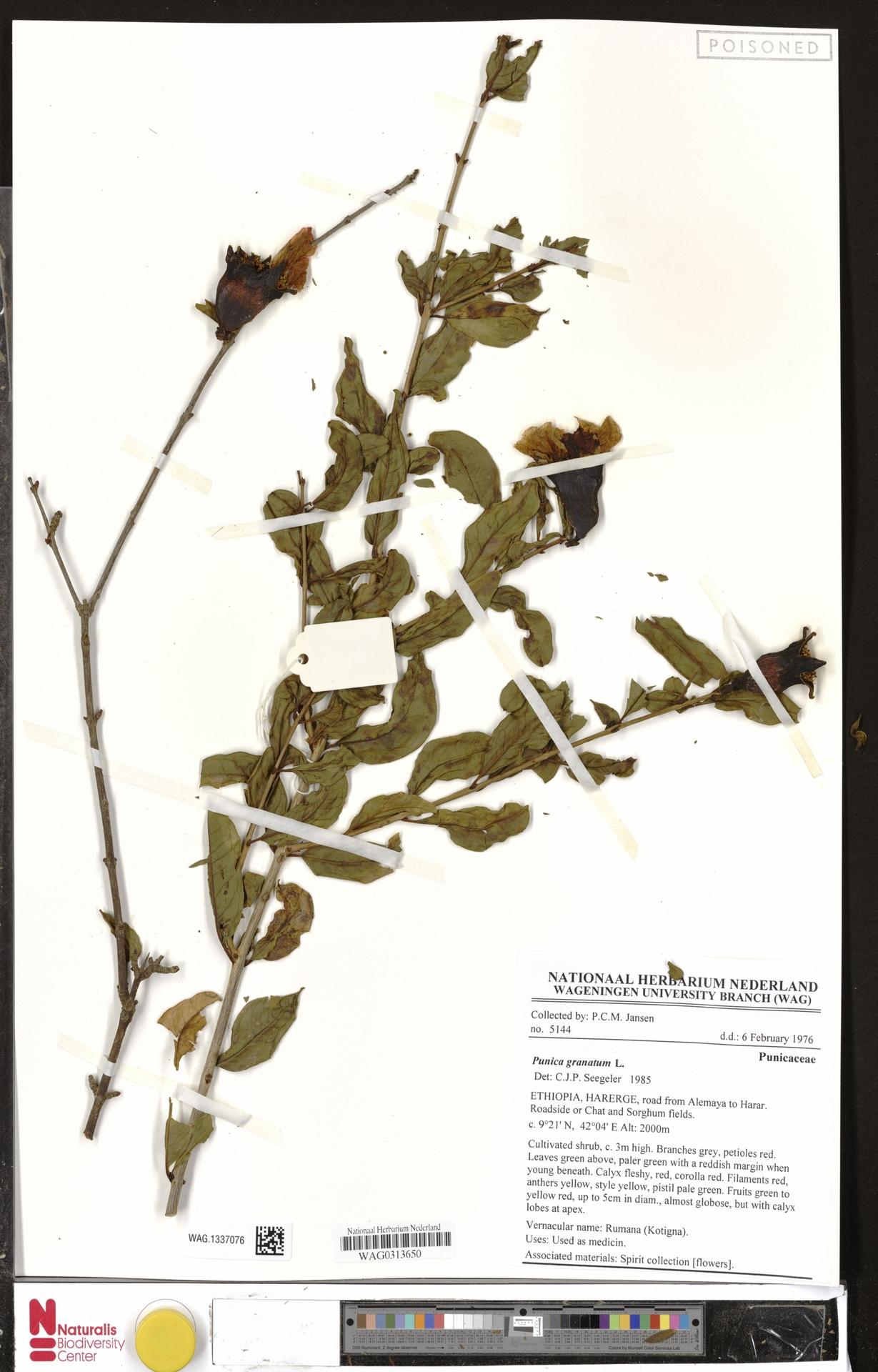 WAG.1337076 | Punica granatum L.