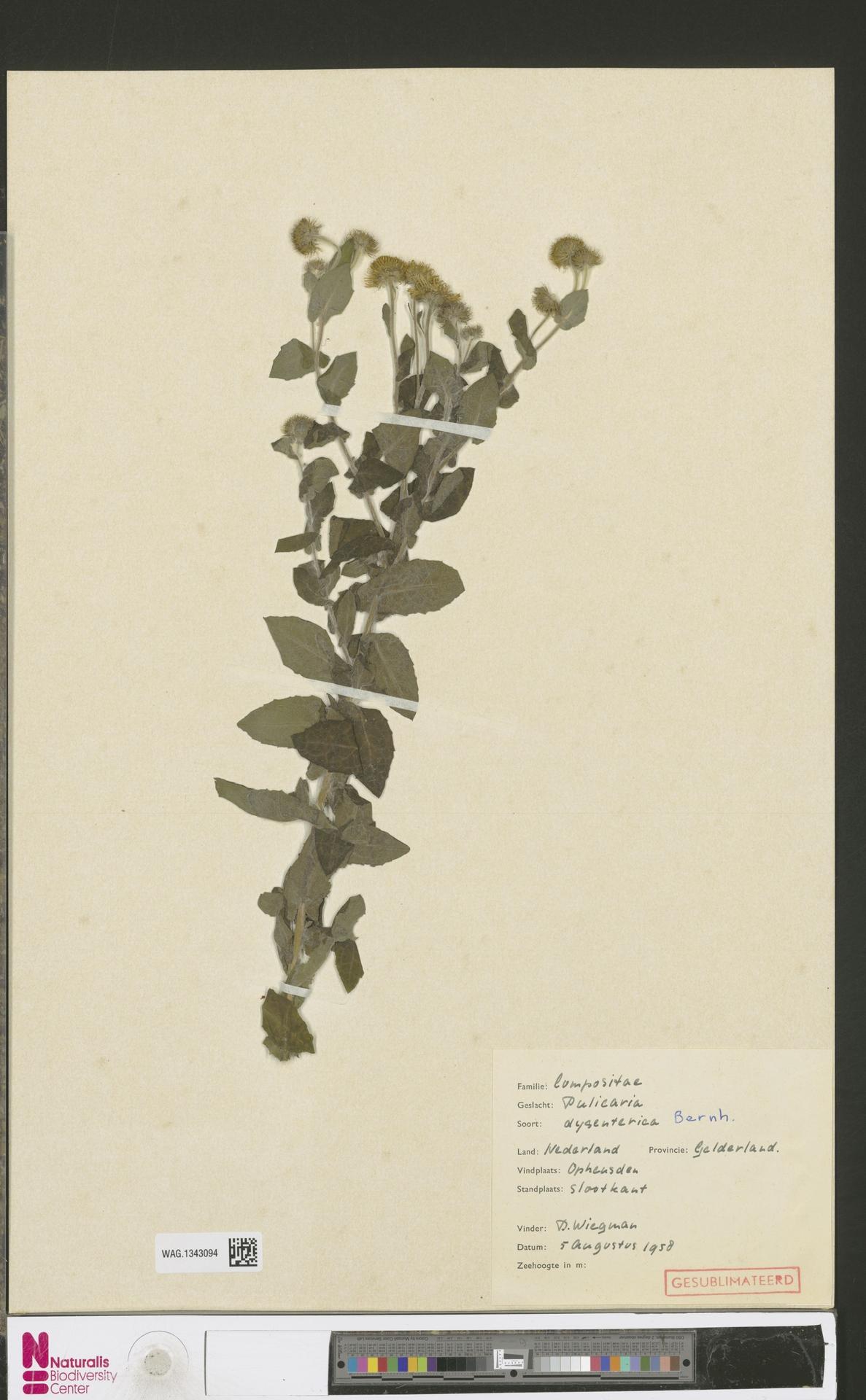 WAG.1343094 | Pulicaria dysenterica (L.) Bernh.