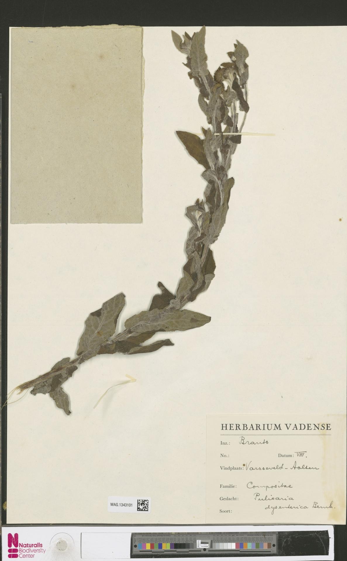 WAG.1343101 | Pulicaria dysenterica (L.) Bernh.