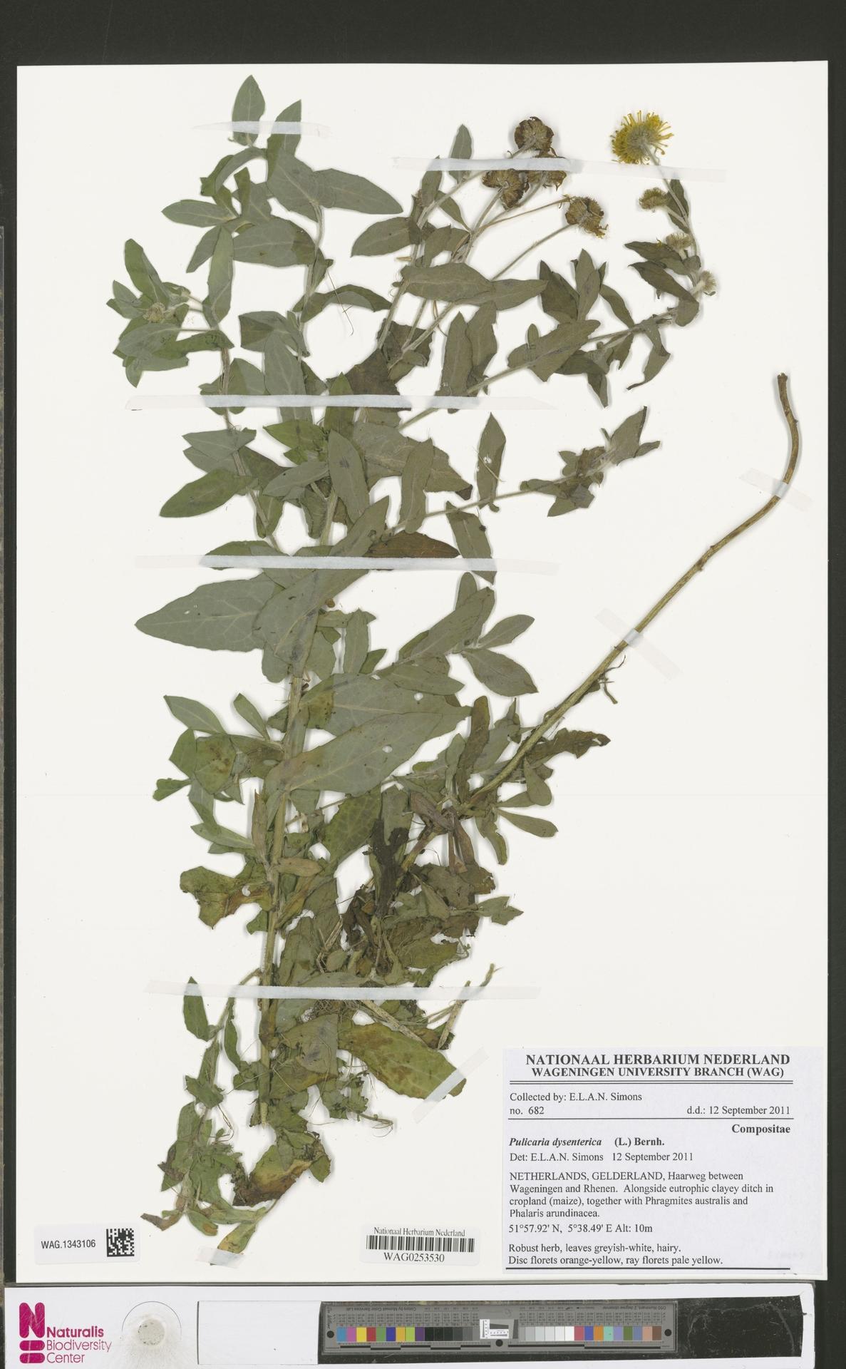 WAG.1343106 | Pulicaria dysenterica (L.) Bernh.