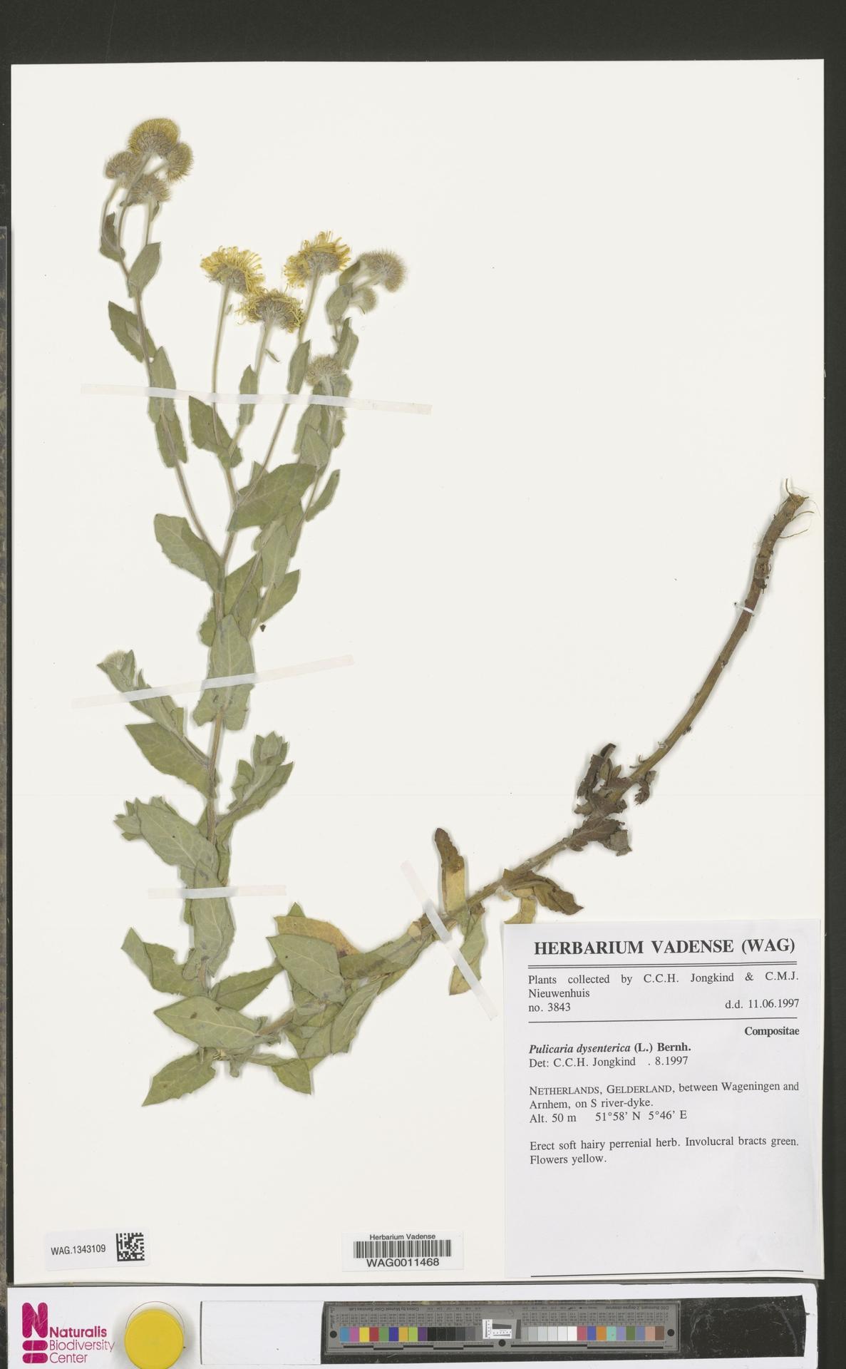 WAG.1343109 | Pulicaria dysenterica (L.) Bernh.
