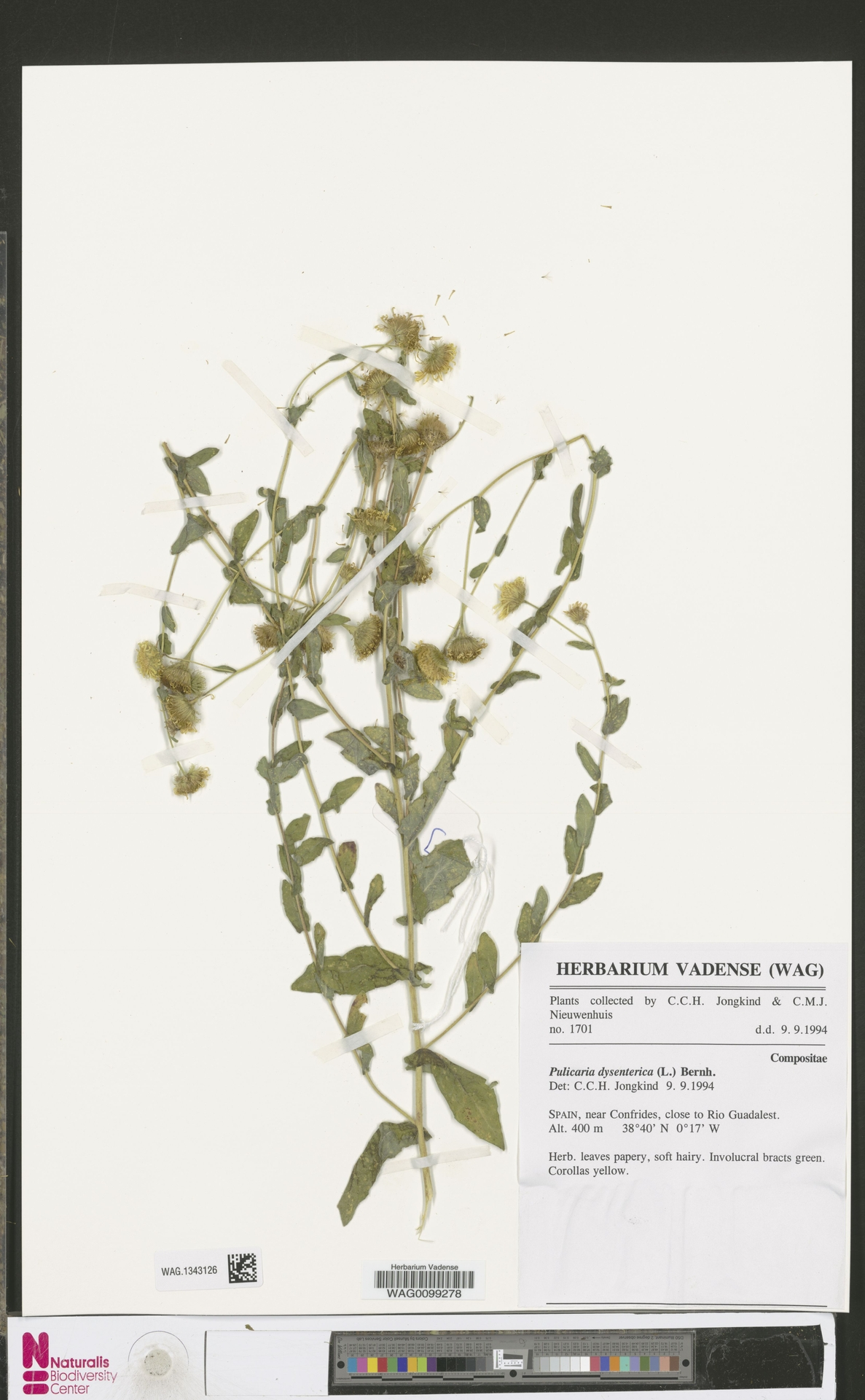WAG.1343126 | Pulicaria dysenterica (L.) Bernh.