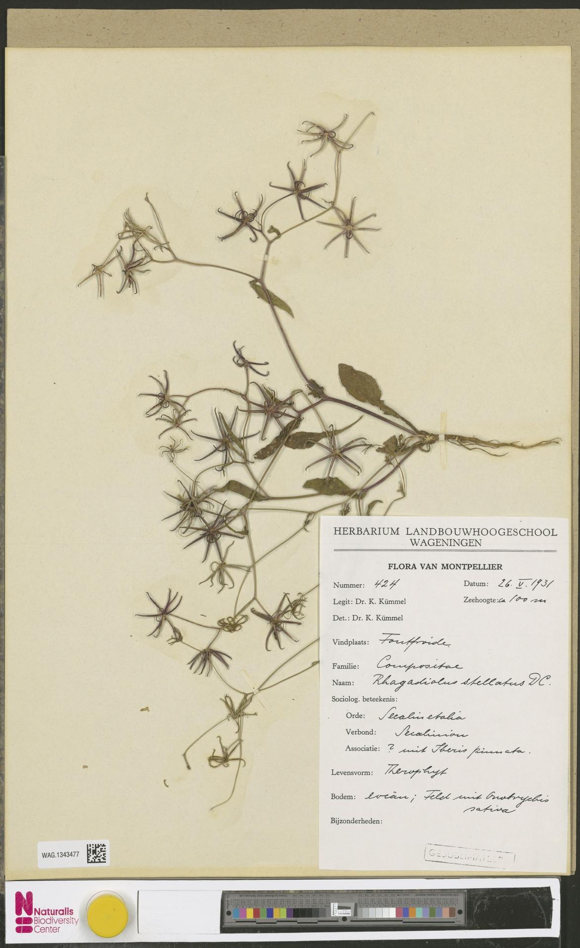 WAG.1343477   Rhagadiolus stellatus (L.) Gaertn.