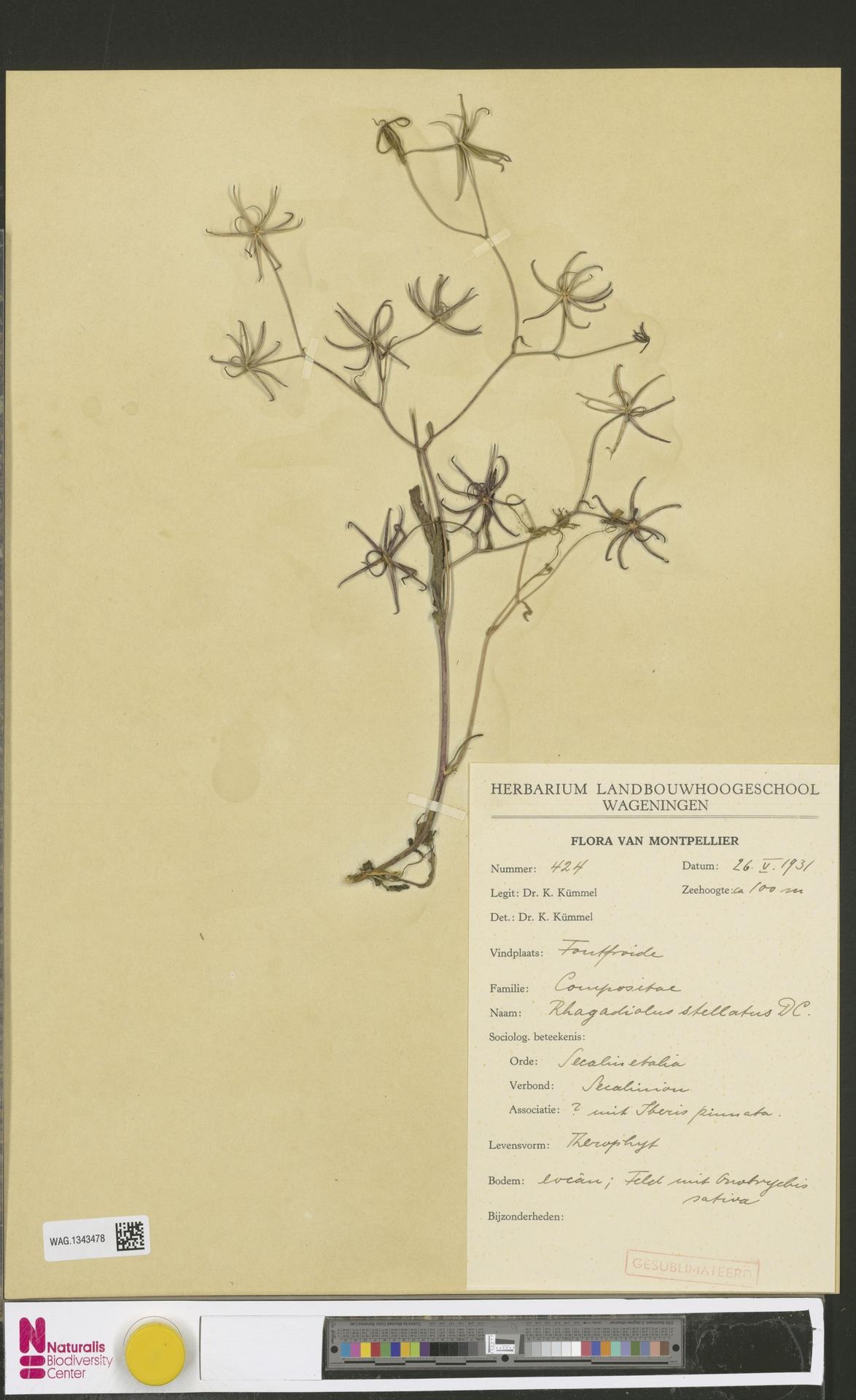 WAG.1343478 | Rhagadiolus stellatus (L.) Gaertn.