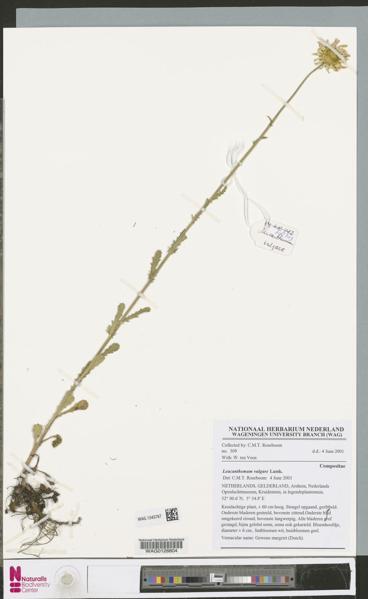 WAG.1343767 | Leucanthemum vulgare Lam.