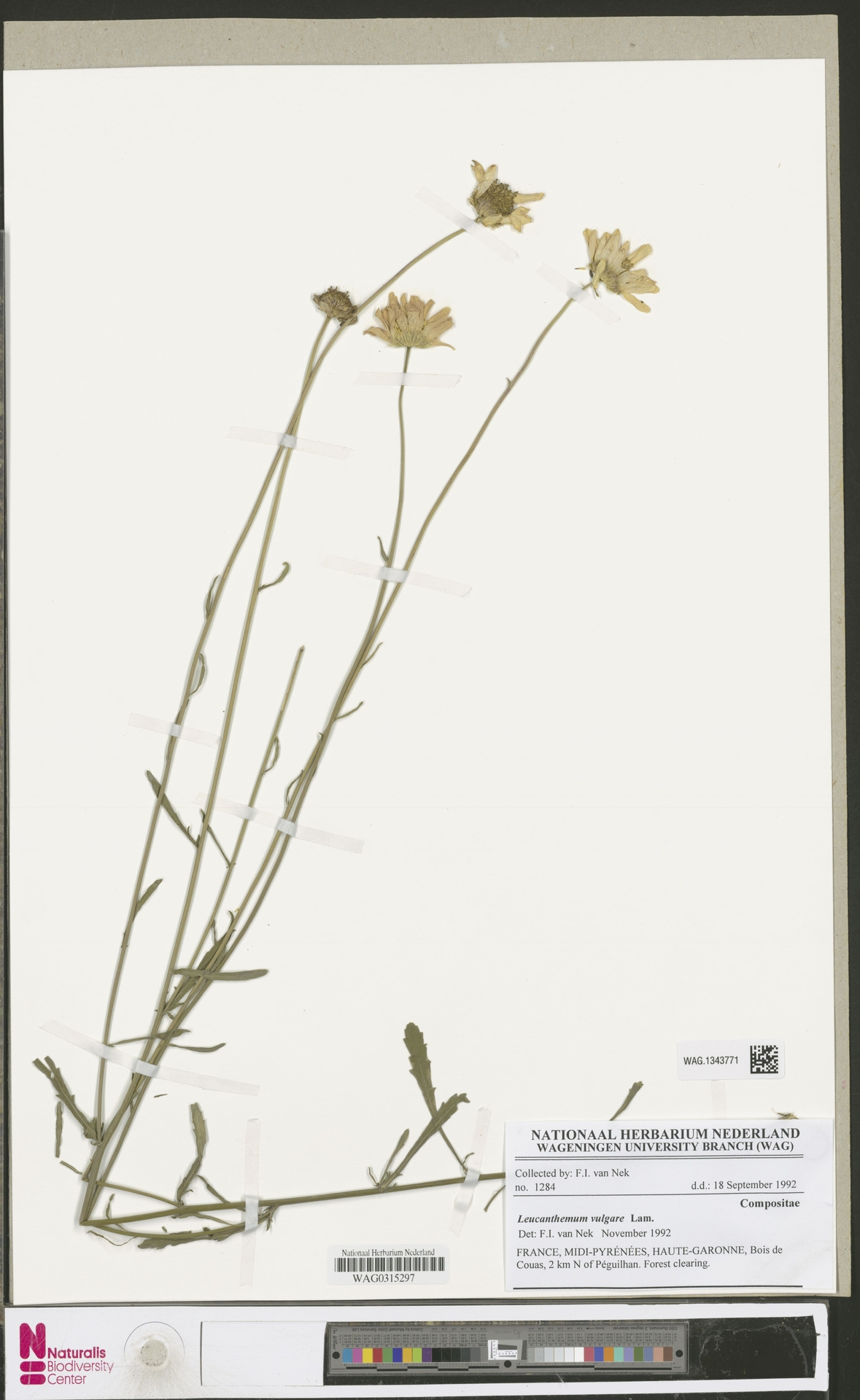 WAG.1343771   Leucanthemum vulgare Lam.