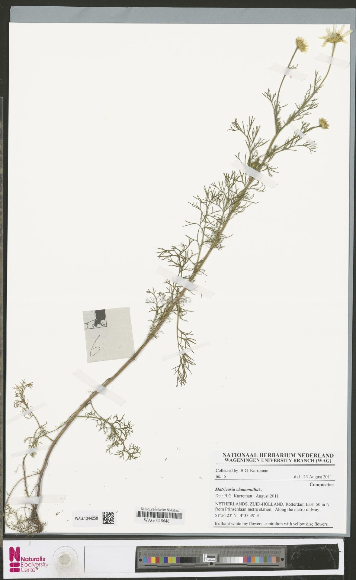 WAG.1344258 | Matricaria chamomilla L.