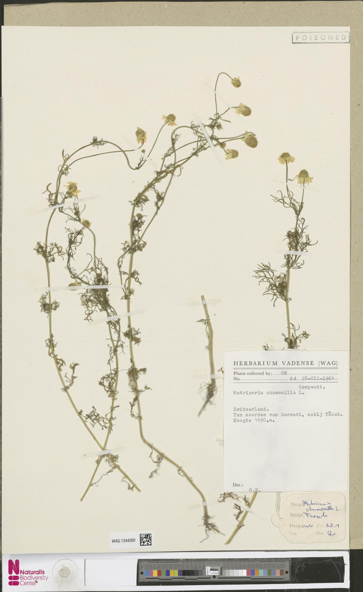 WAG.1344260   Matricaria chamomilla L.