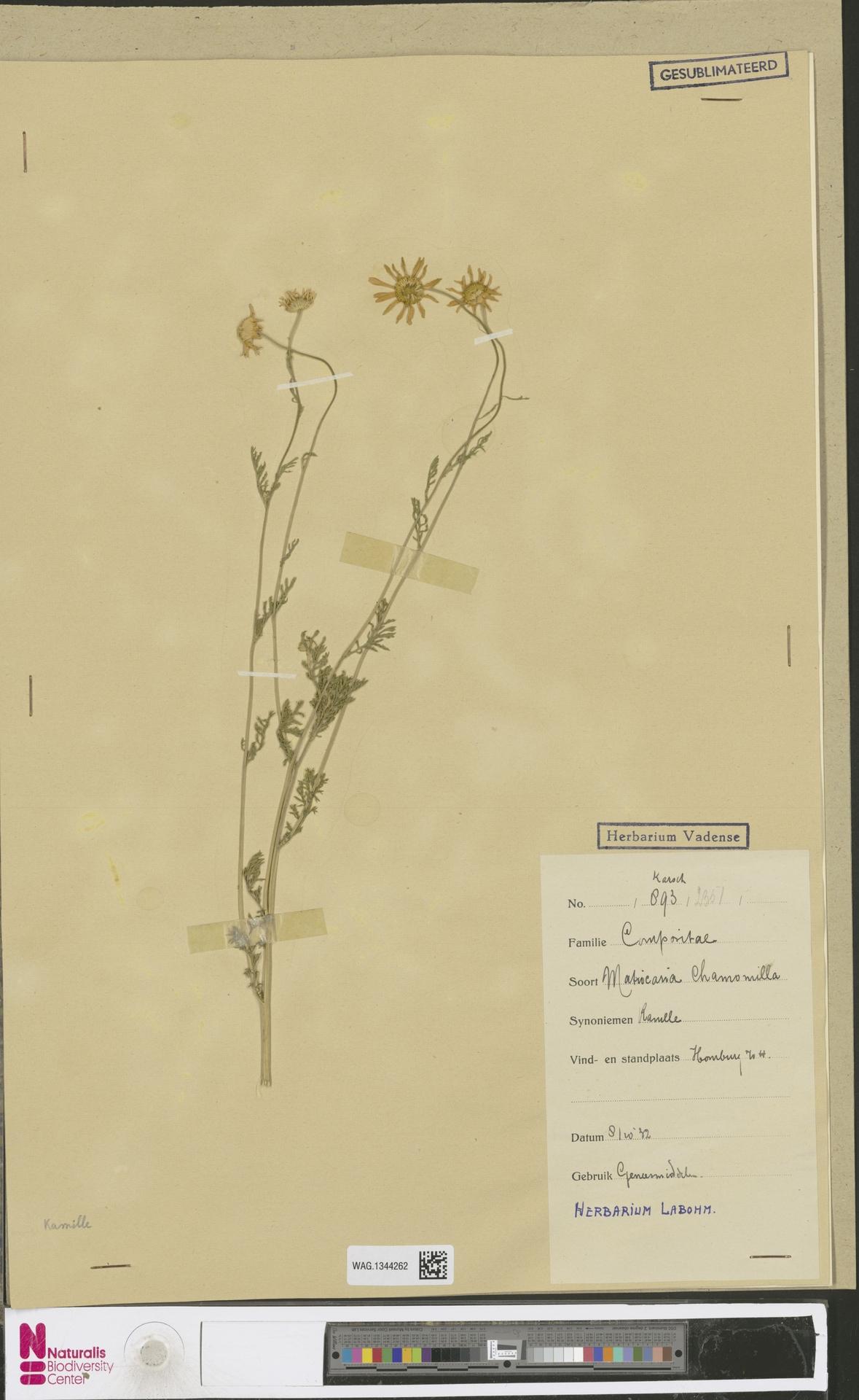 WAG.1344262 | Matricaria chamomilla L.