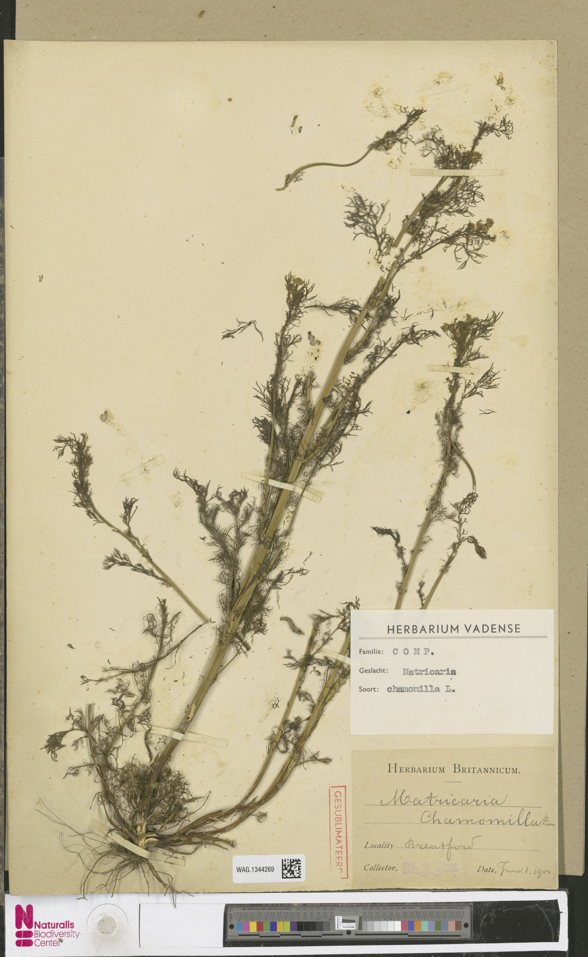 WAG.1344269 | Matricaria chamomilla L.