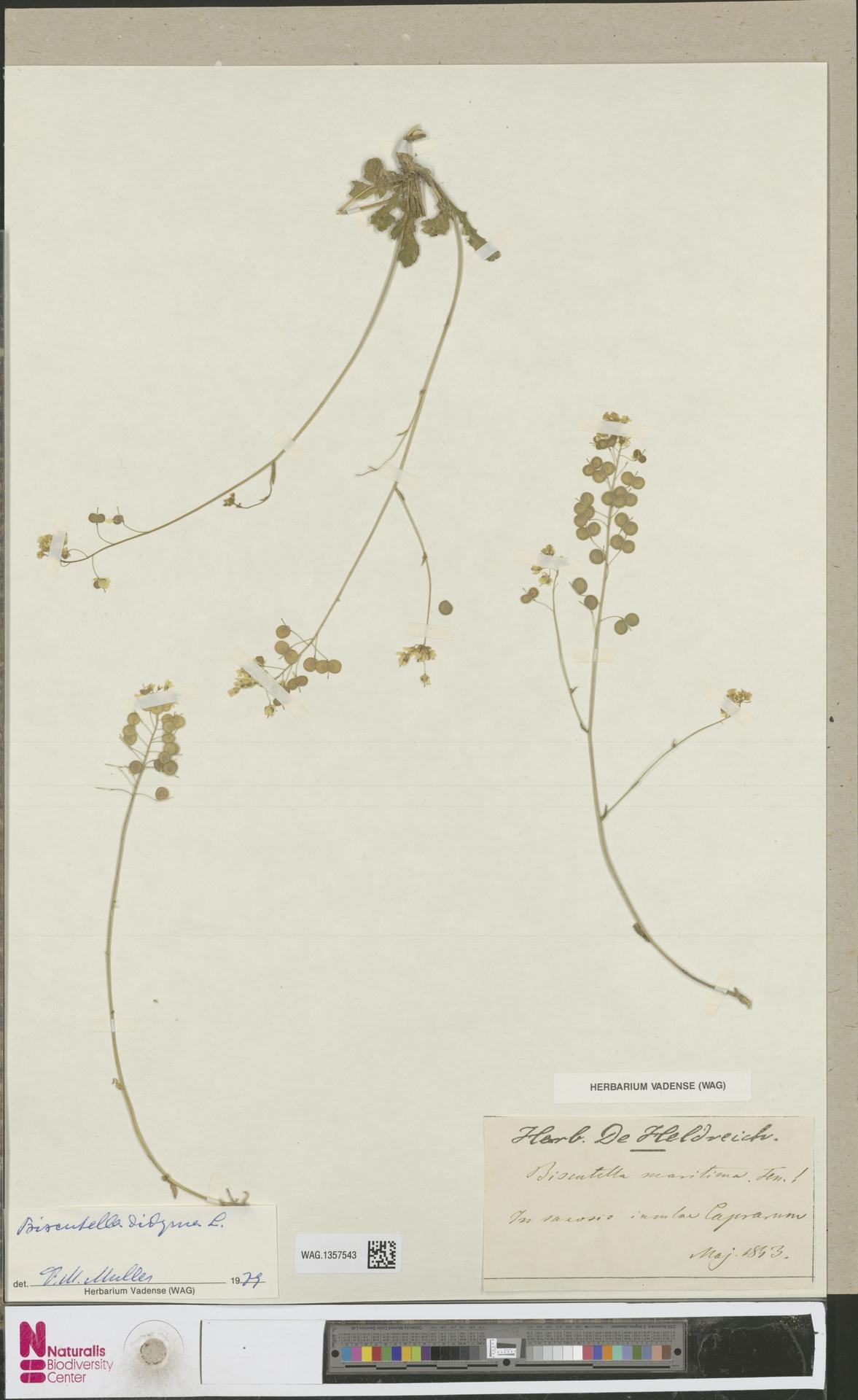 WAG.1357543 | Biscutella didyma L.