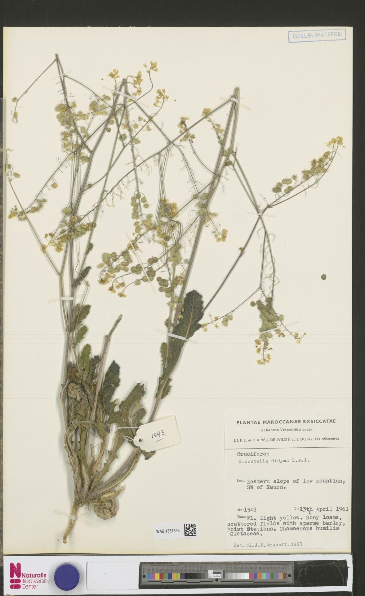 WAG.1357553 | Biscutella didyma L.