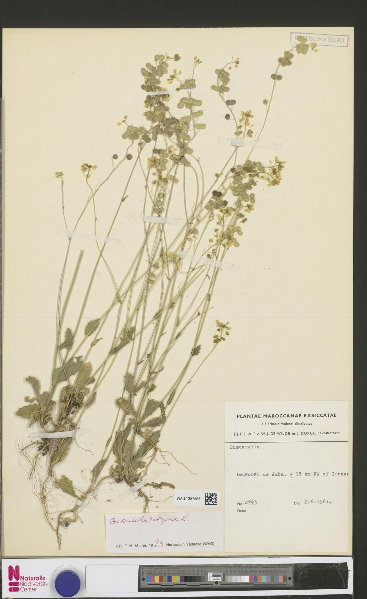 WAG.1357556 | Biscutella didyma L.