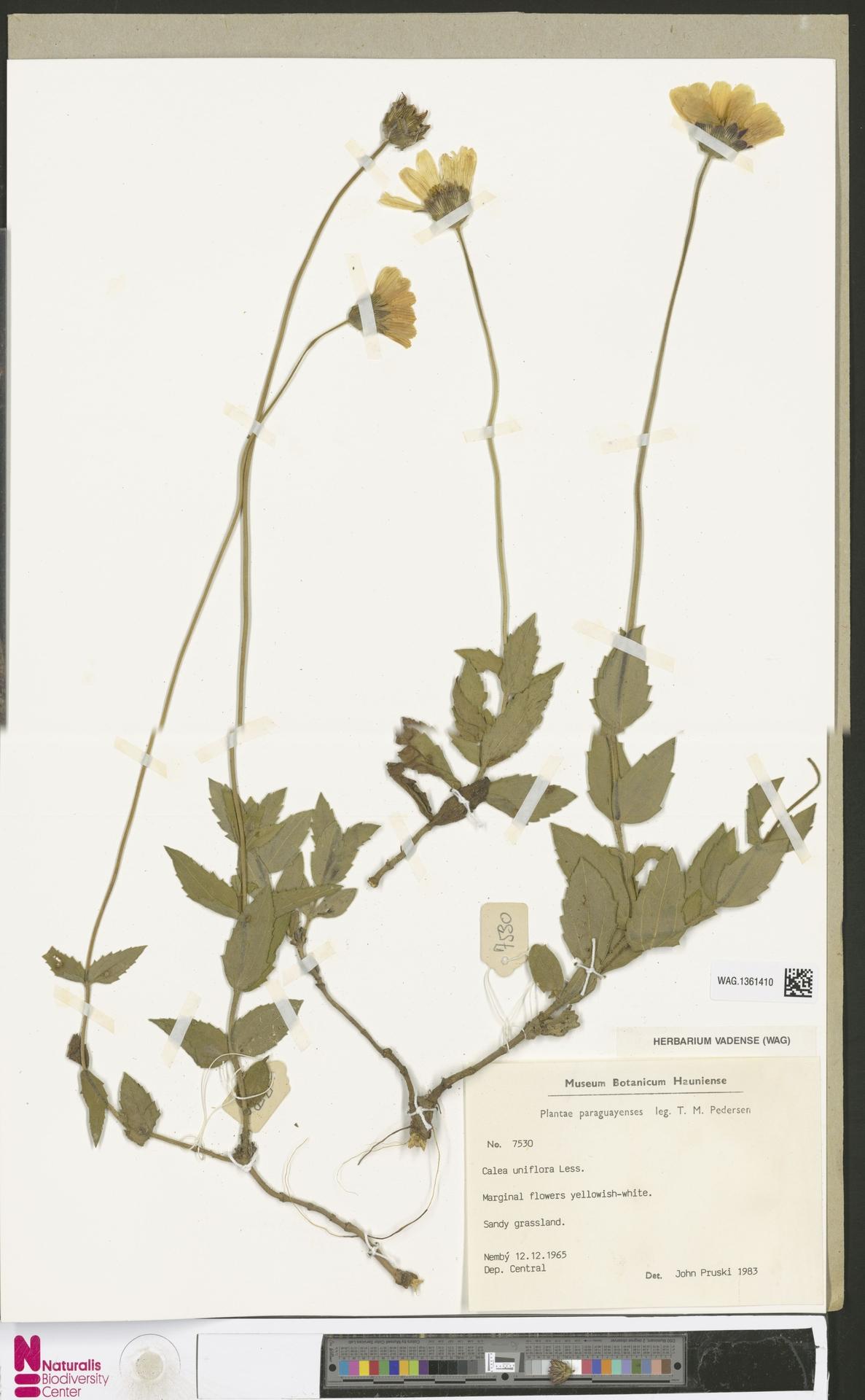 WAG.1361410 | Calea uniflora Less.