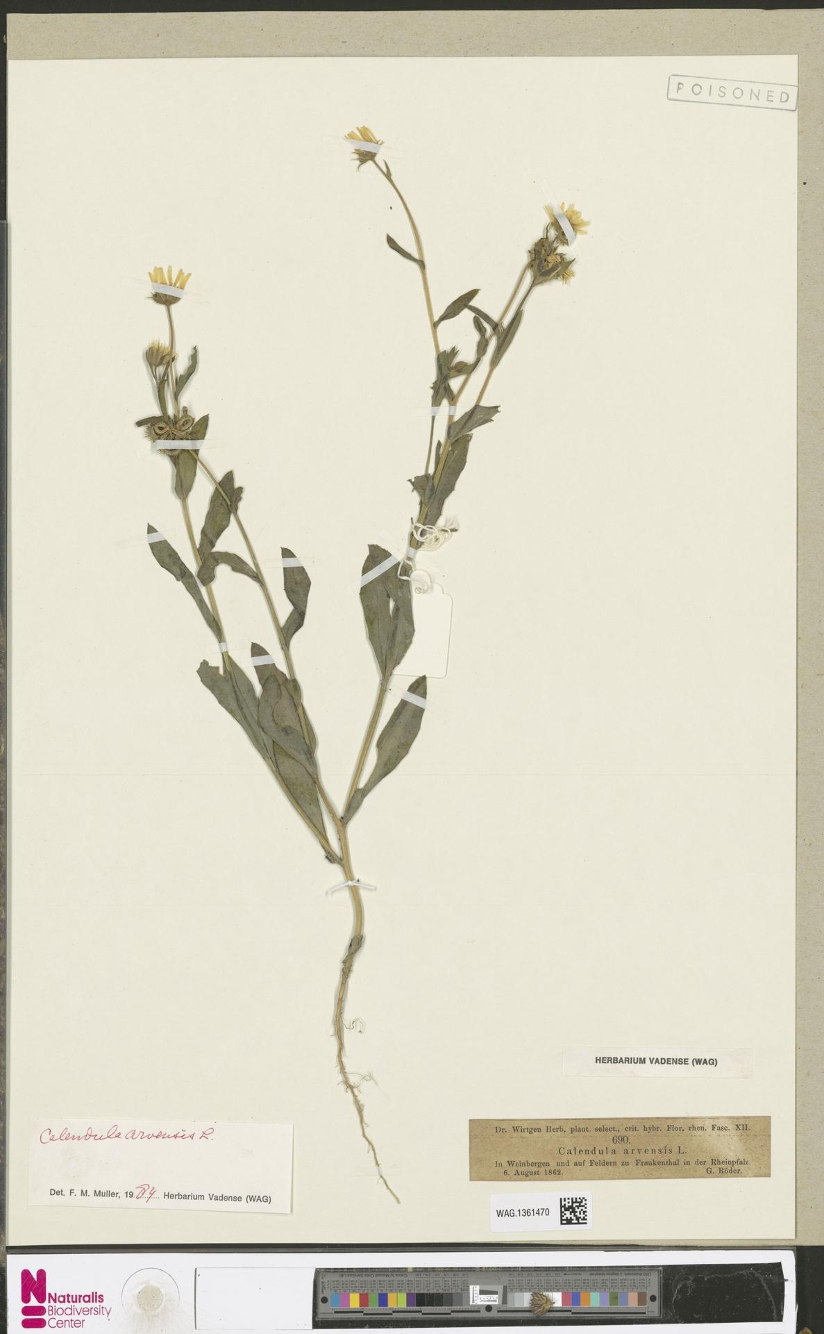 WAG.1361470 | Calendula arvensis (Vaill.) L.