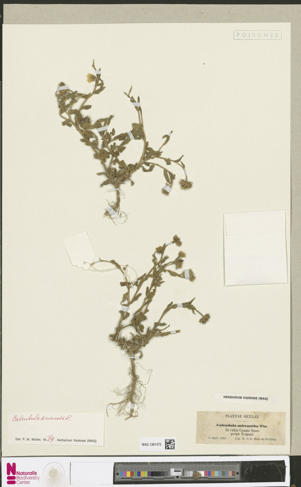 WAG.1361475 | Calendula arvensis (Vaill.) L.