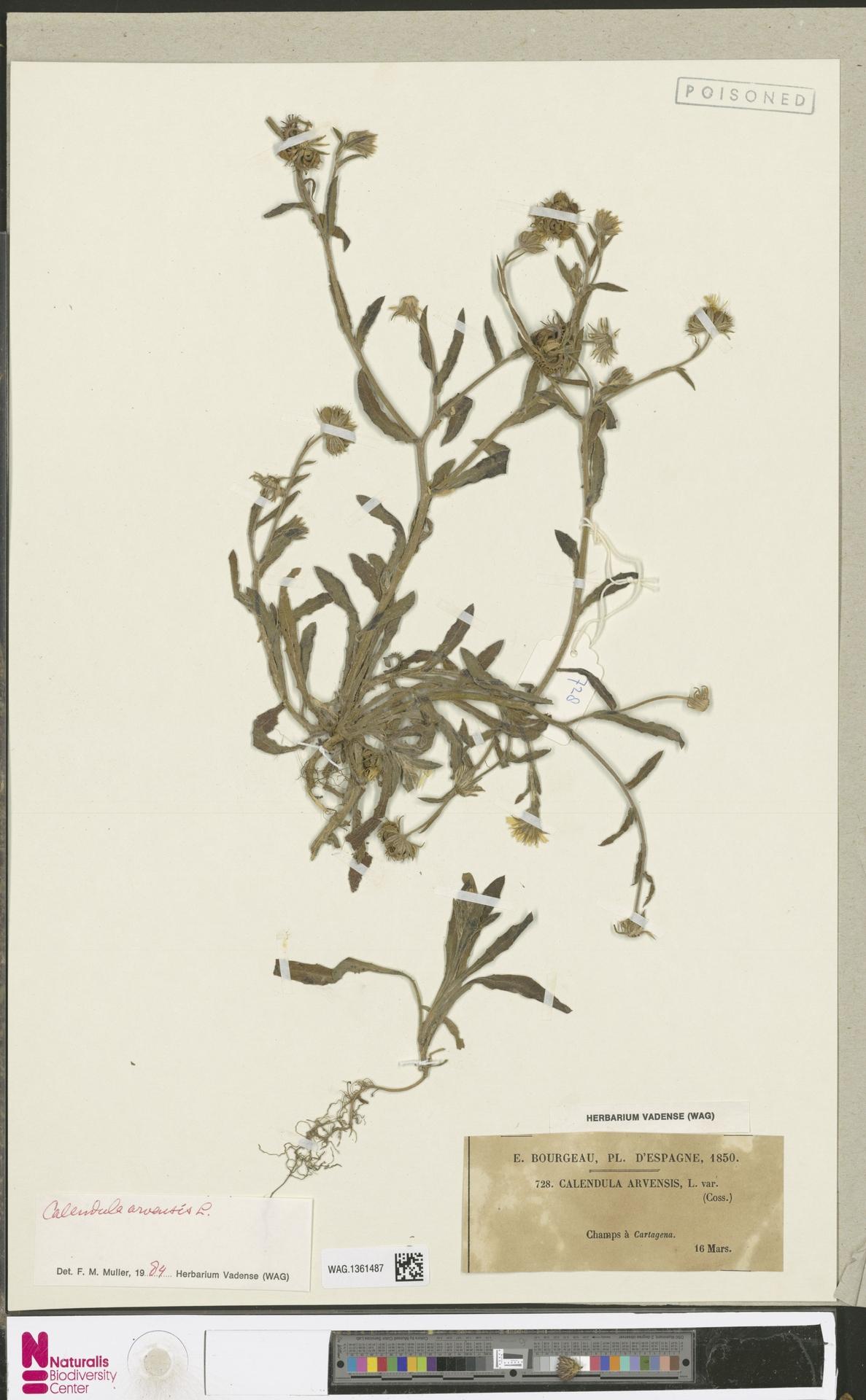 WAG.1361487 | Calendula arvensis (Vaill.) L.