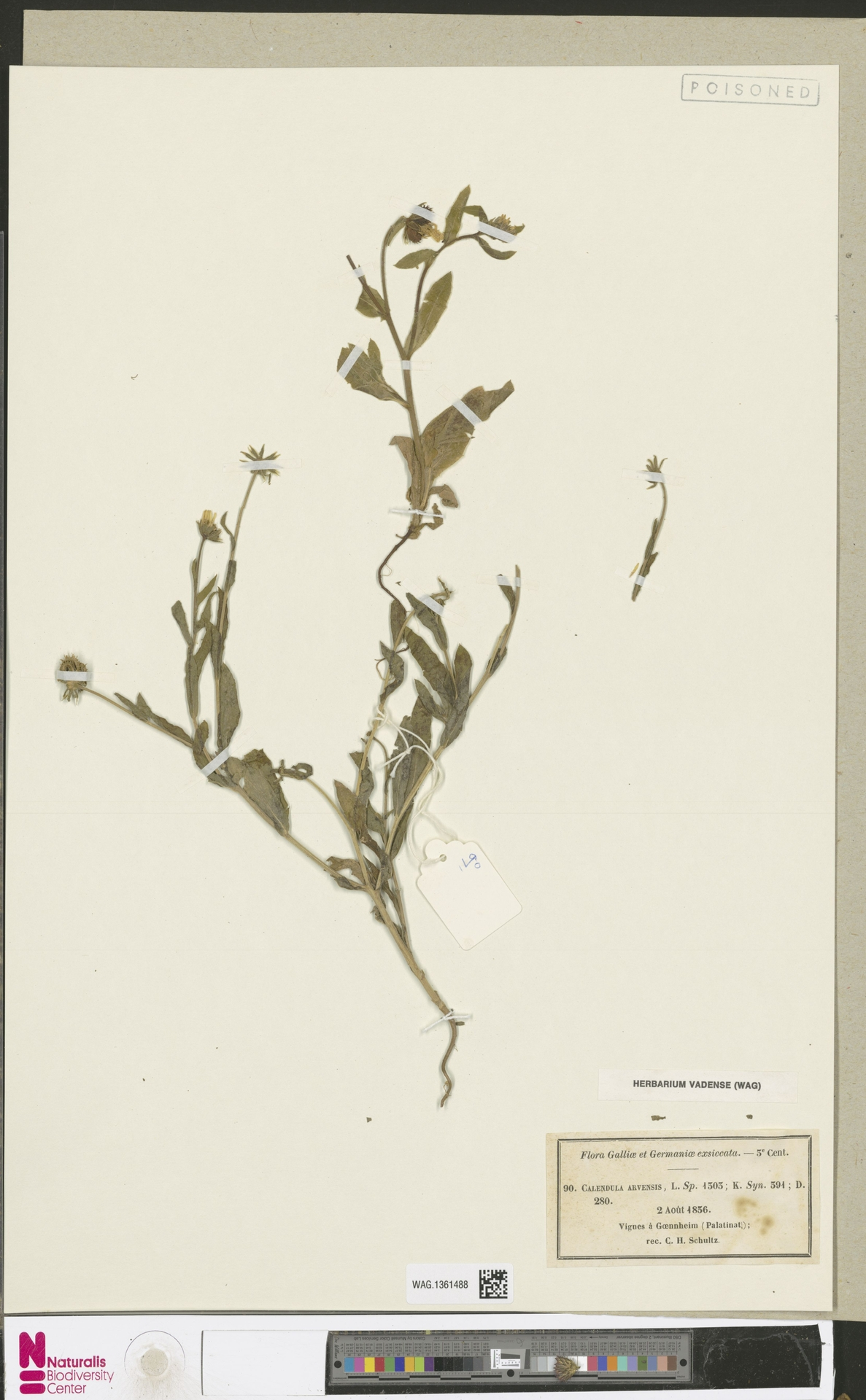 WAG.1361488 | Calendula arvensis (Vaill.) L.
