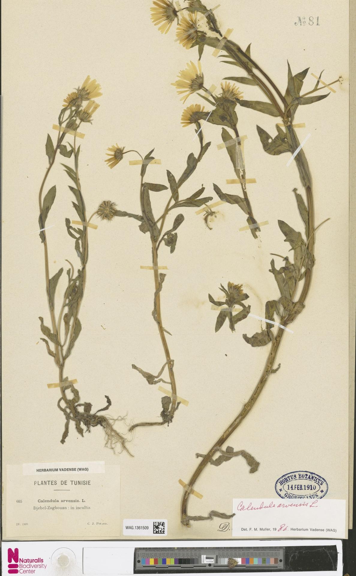 WAG.1361509 | Calendula arvensis (Vaill.) L.