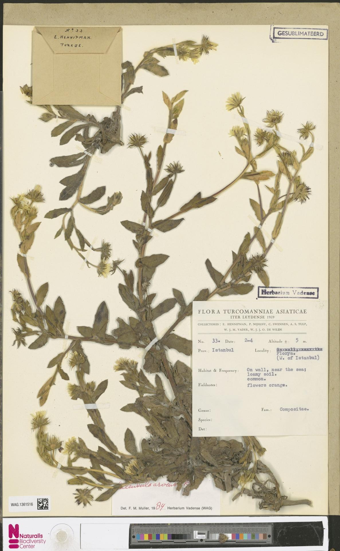 WAG.1361516 | Calendula arvensis (Vaill.) L.