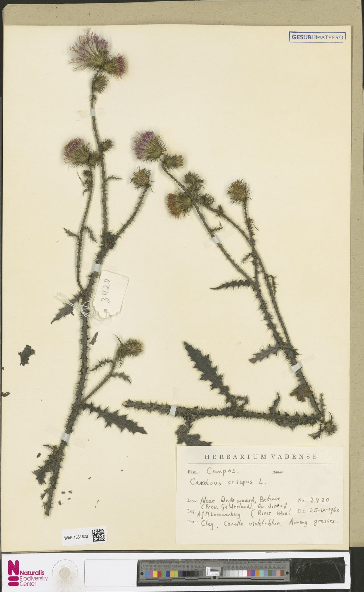 WAG.1361820 | Carduus crispus L.
