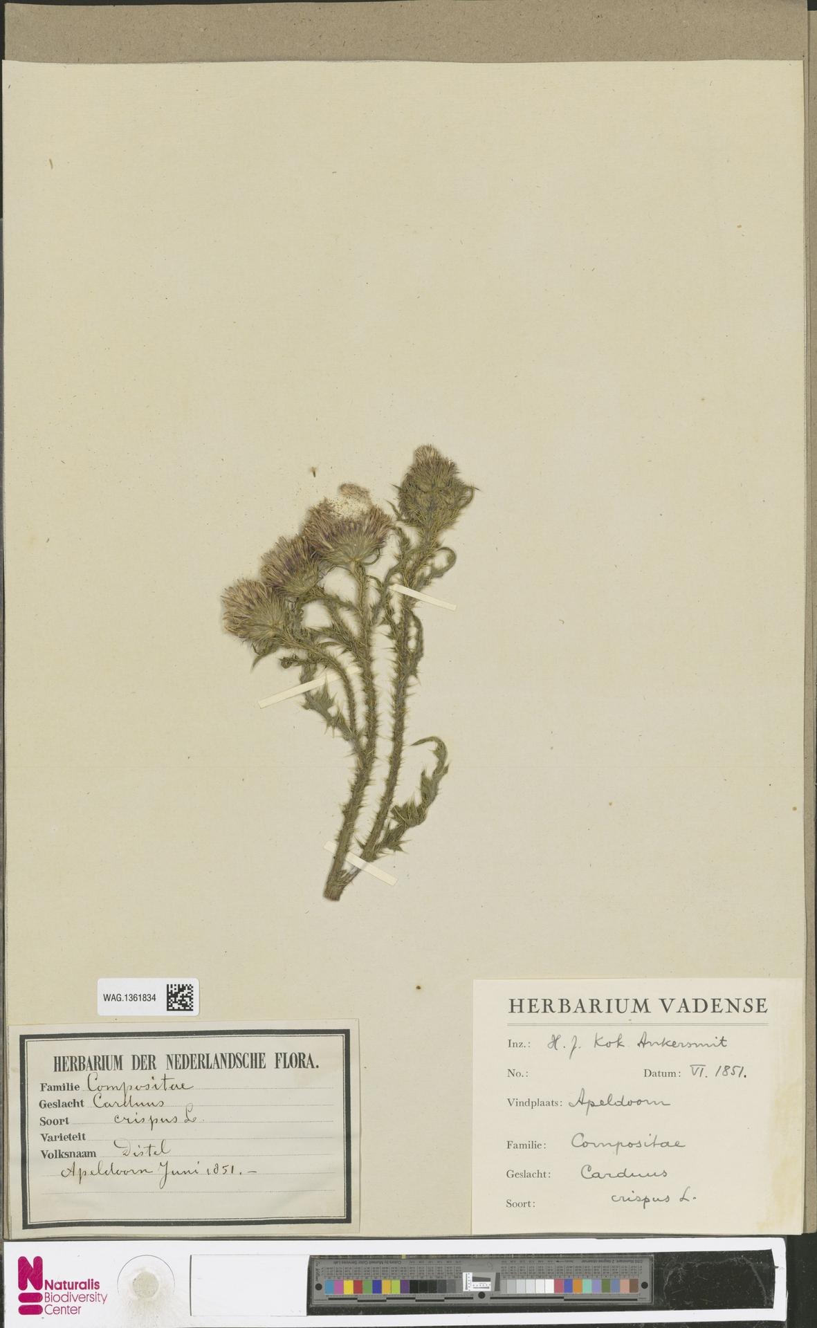 WAG.1361834 | Carduus crispus L.