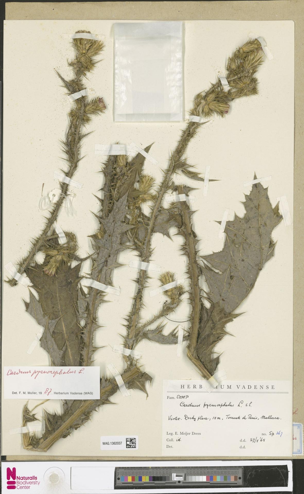 WAG.1362037 | Carduus pycnocephalus L.