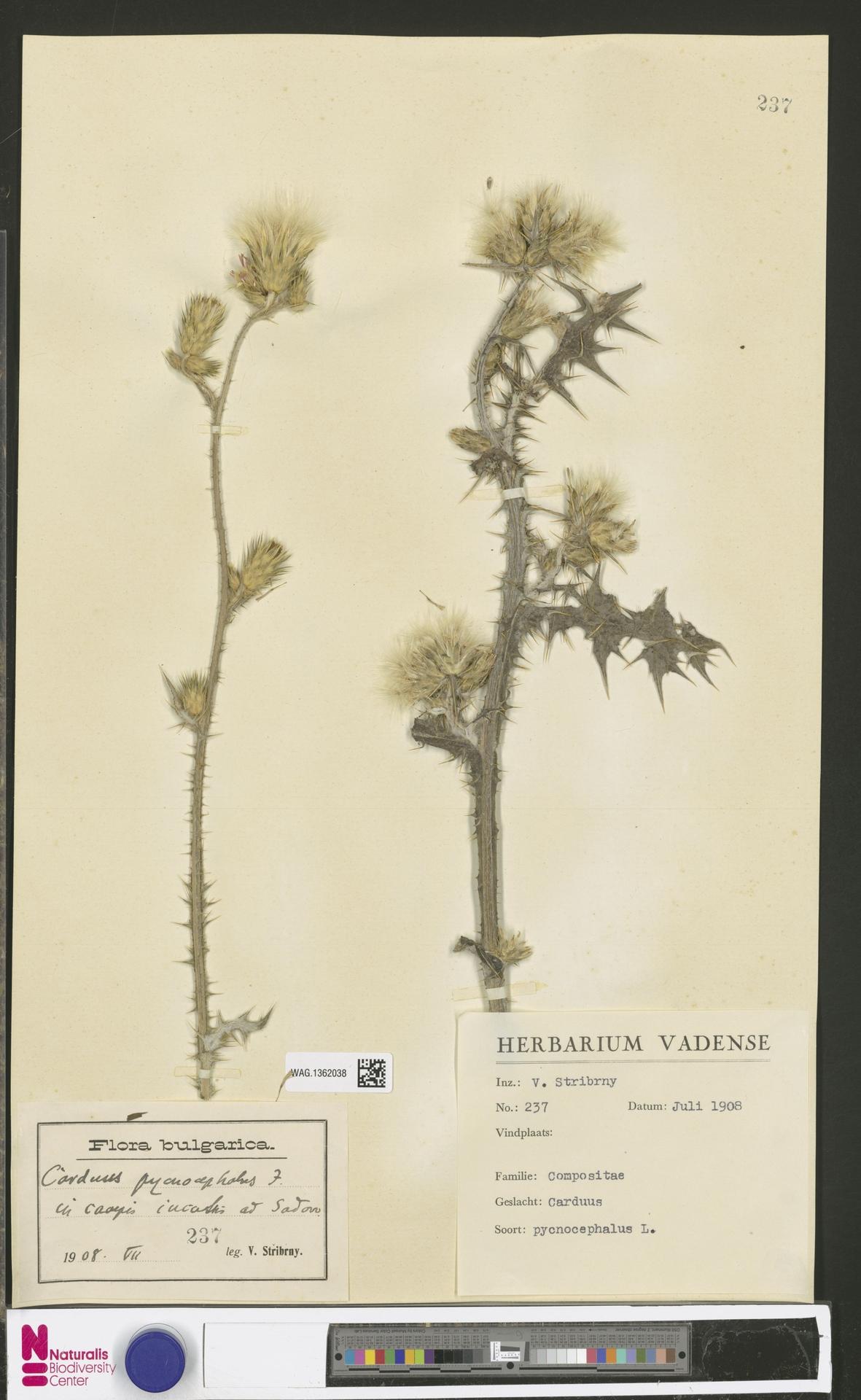 WAG.1362038 | Carduus pycnocephalus L.