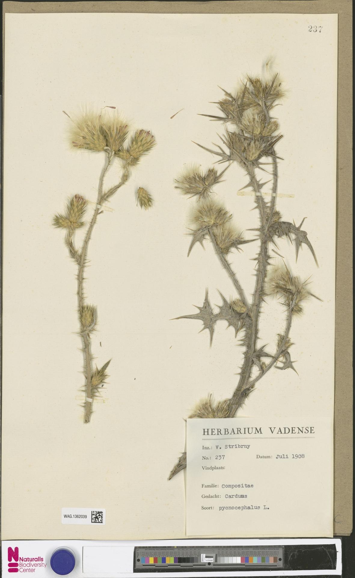 WAG.1362039 | Carduus pycnocephalus L.