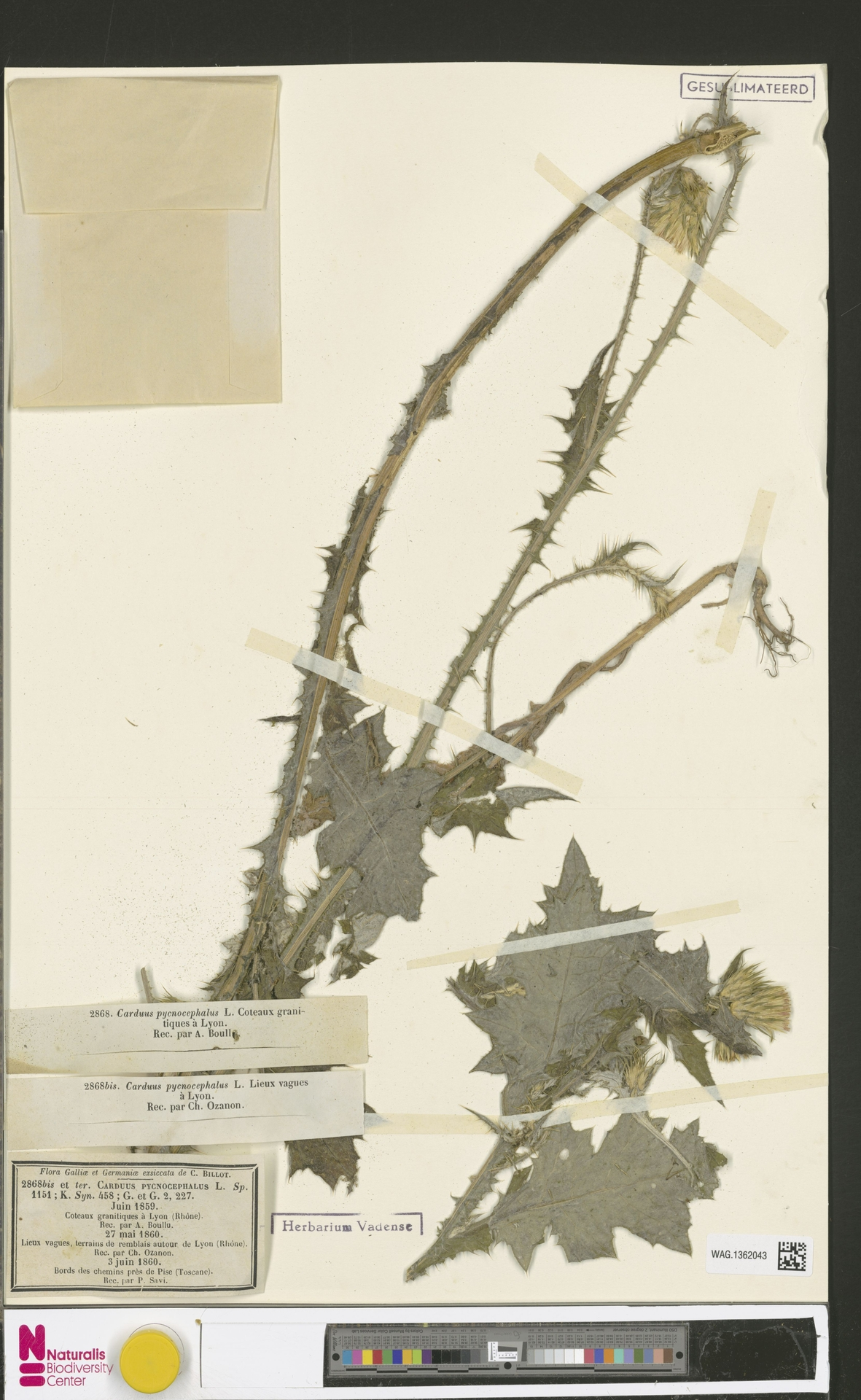 WAG.1362043 | Carduus pycnocephalus L.