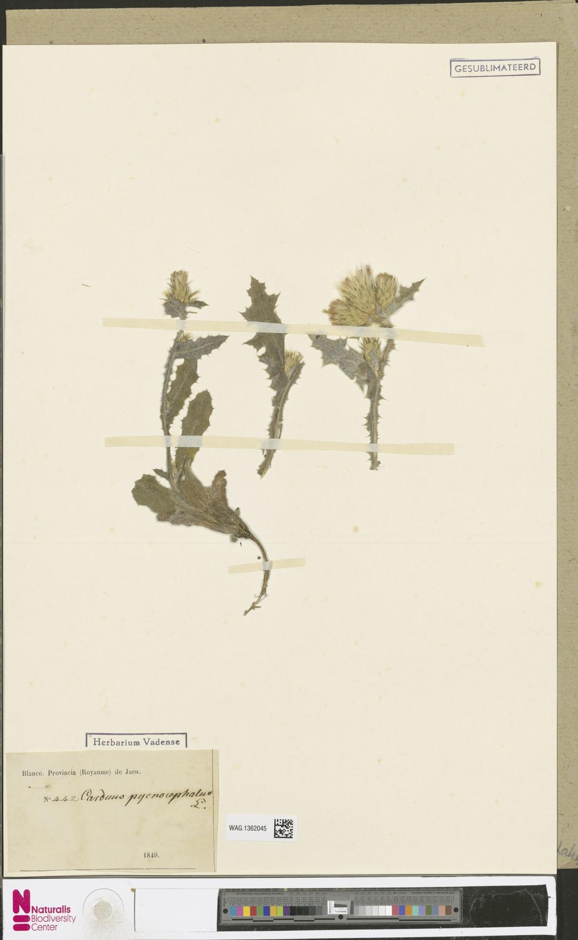 WAG.1362045 | Carduus pycnocephalus L.