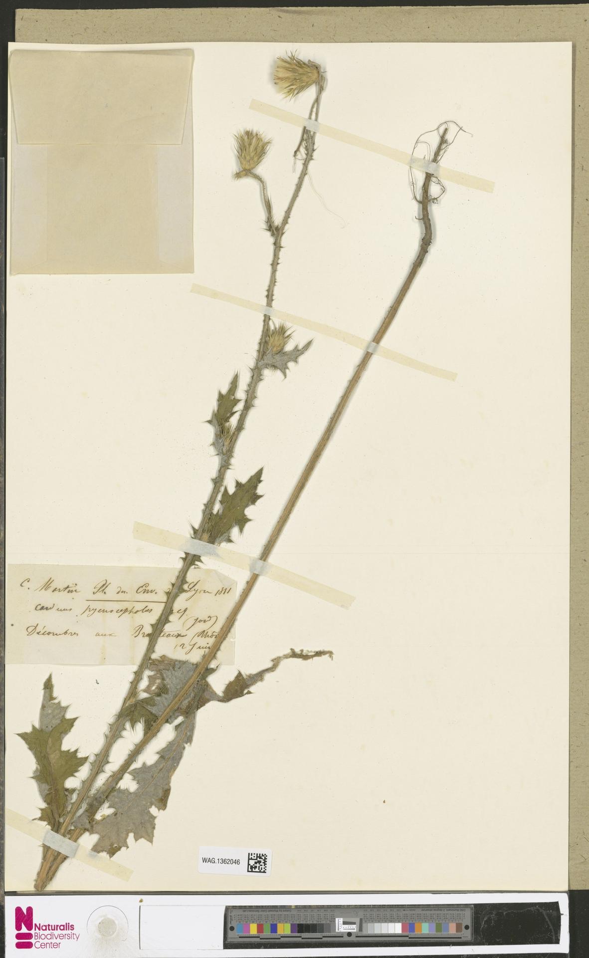 WAG.1362046 | Carduus pycnocephalus L.