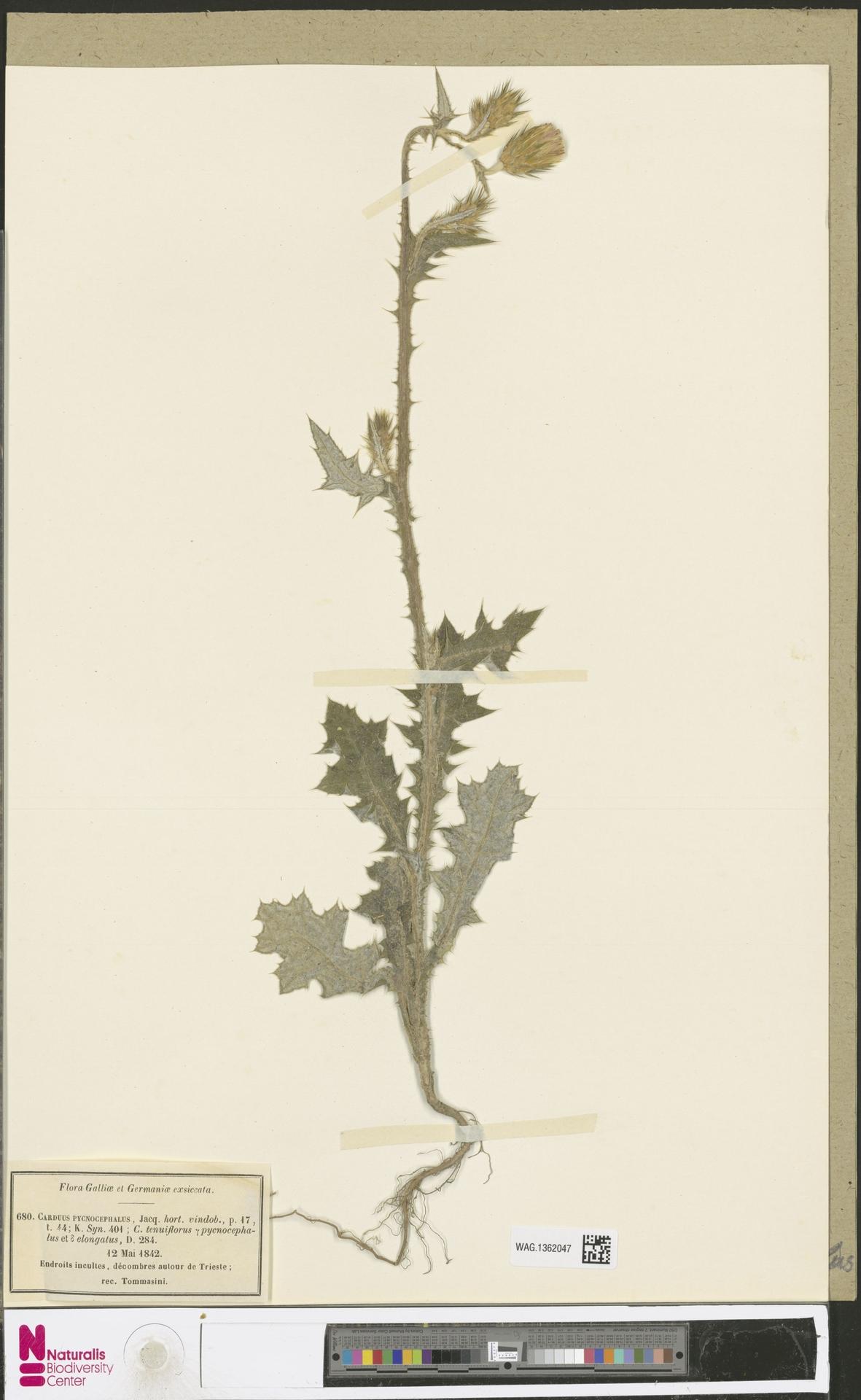 WAG.1362047 | Carduus pycnocephalus L.