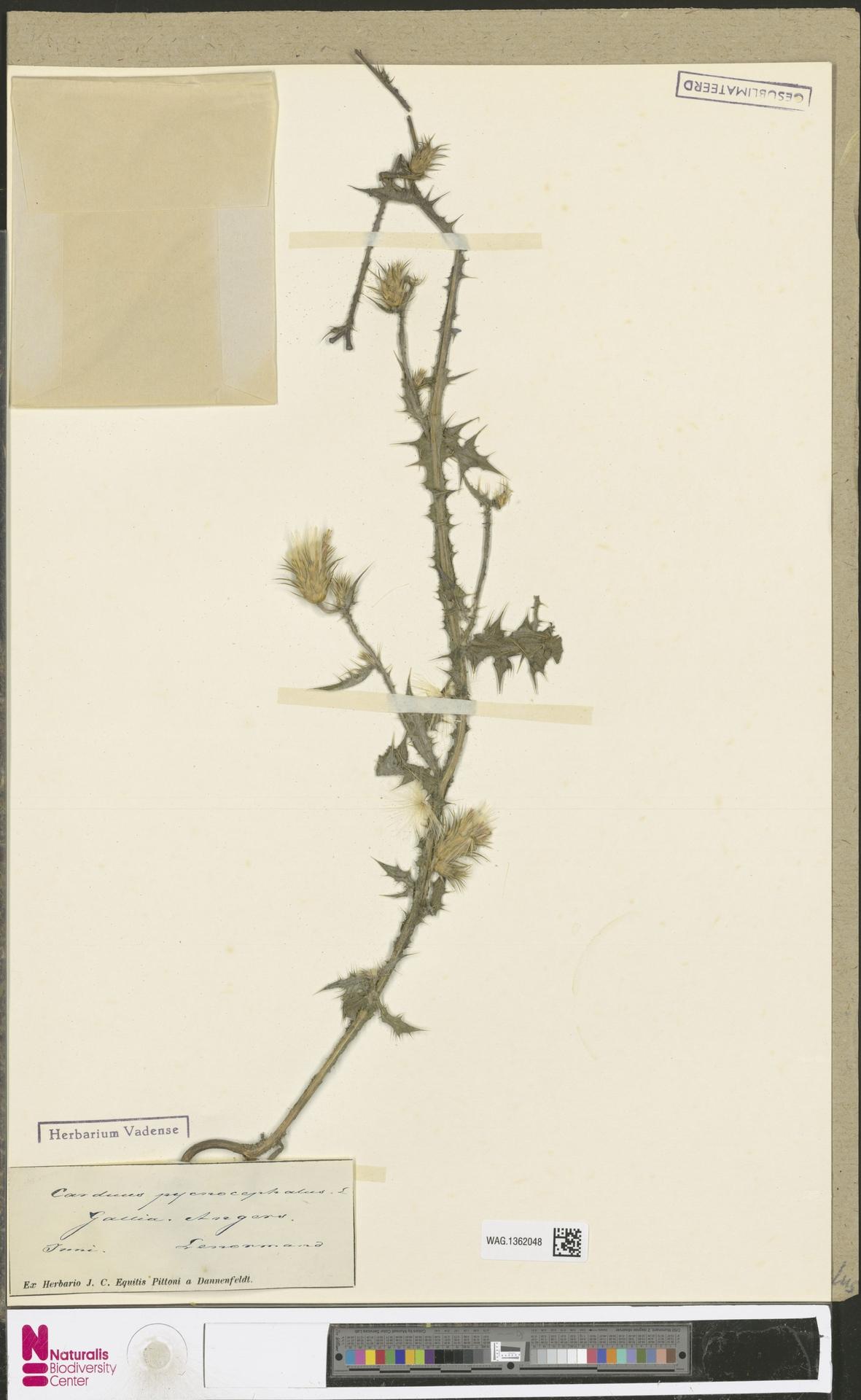 WAG.1362048 | Carduus pycnocephalus L.