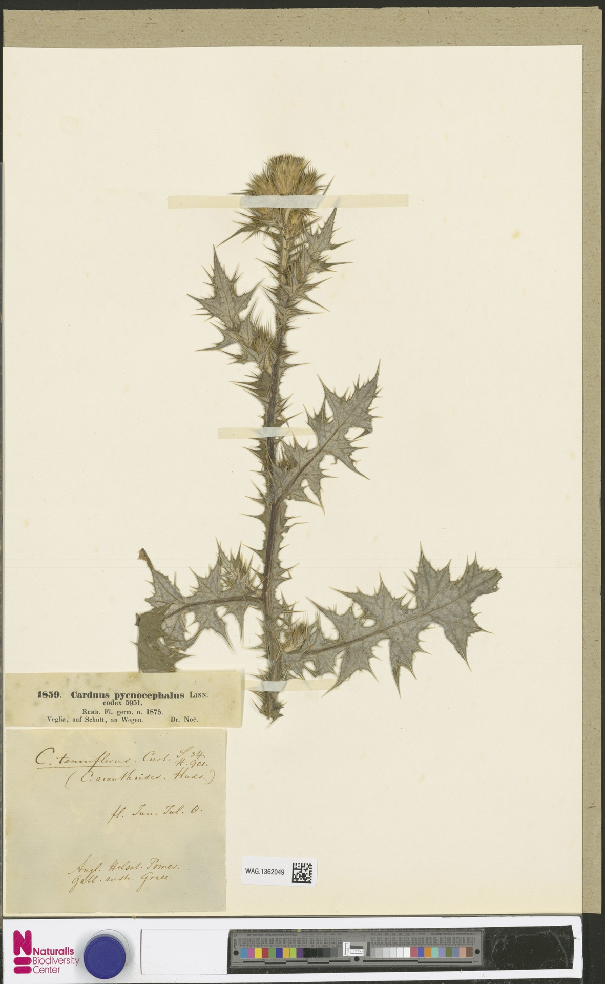 WAG.1362049 | Carduus pycnocephalus L.