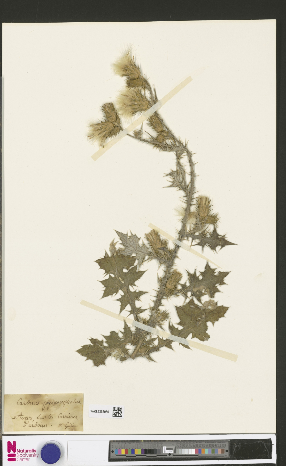 WAG.1362050 | Carduus pycnocephalus L.