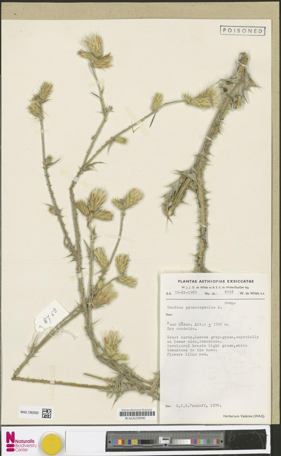 WAG.1362052 | Carduus pycnocephalus L.