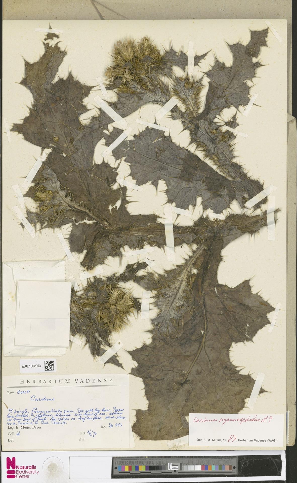 WAG.1362053 | Carduus pycnocephalus L.