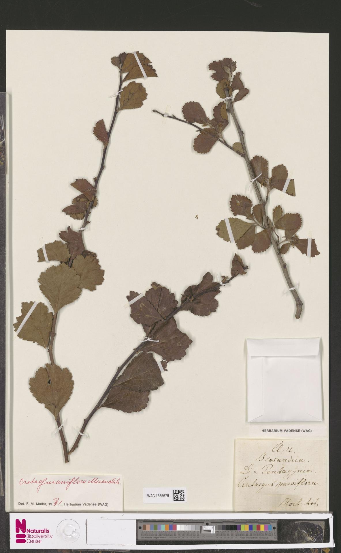 WAG.1365679 | Crataegus uniflora Münchh.
