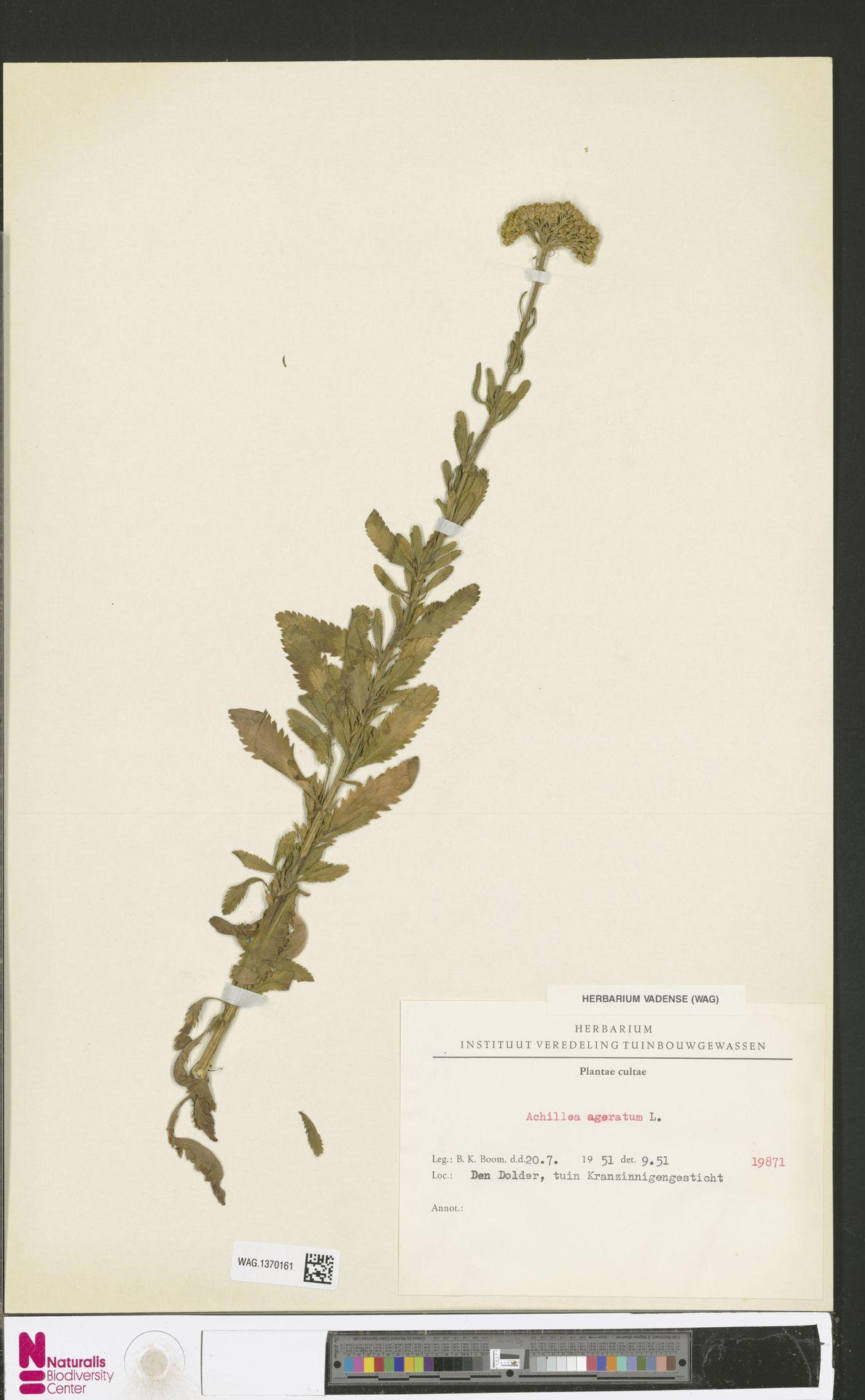 WAG.1370161 | Achillea ageratum L.